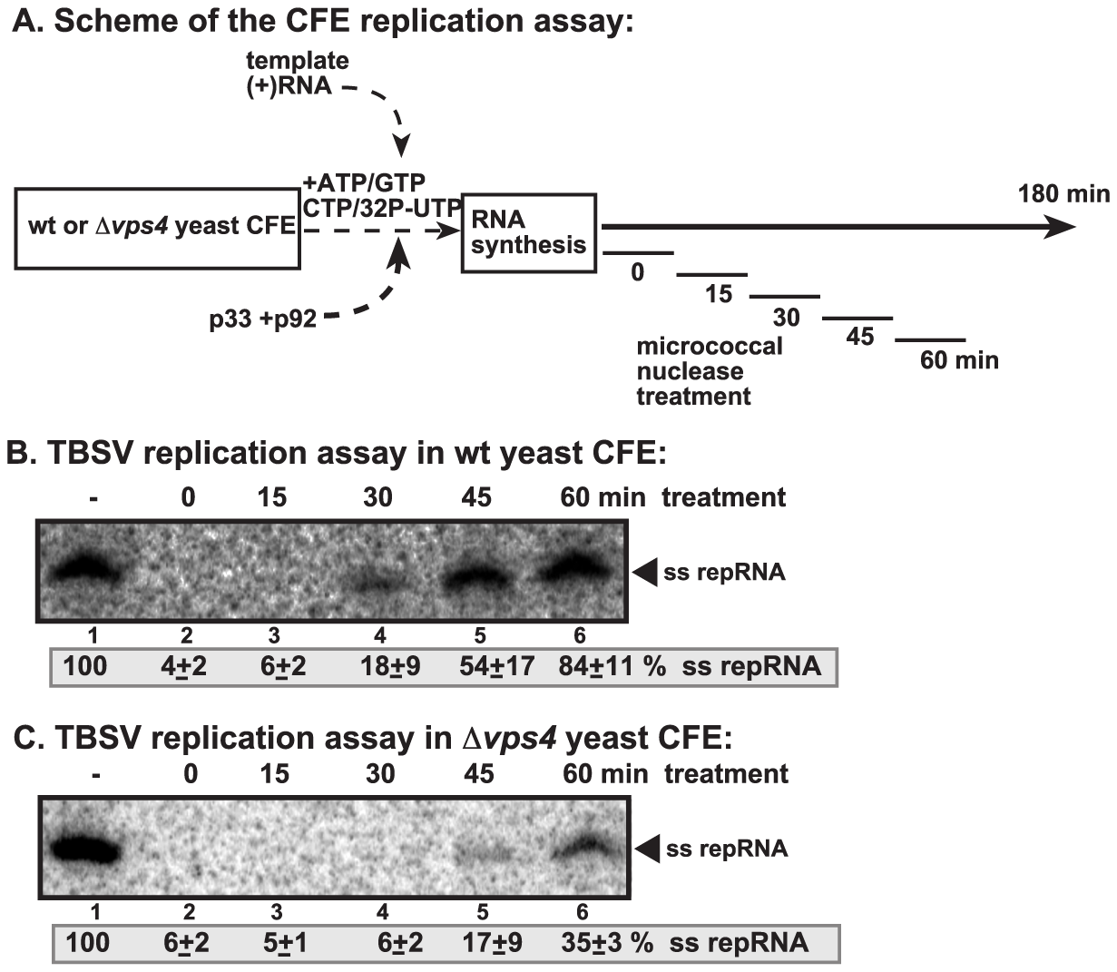 Increased nuclease-sensitivity of the tombusvirus replicase assembled in yeast with deletion of <i>VPS4</i> ESCRT gene.