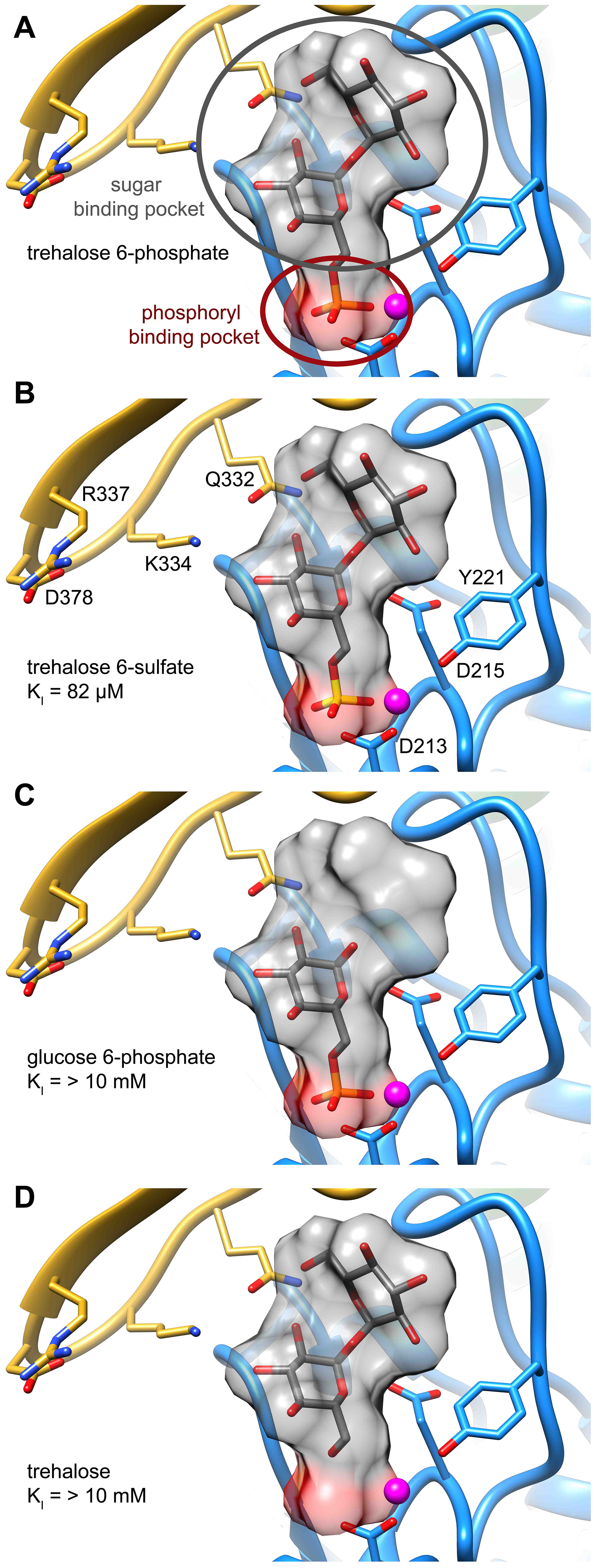 Two binding pockets in the T6PP enzyme.