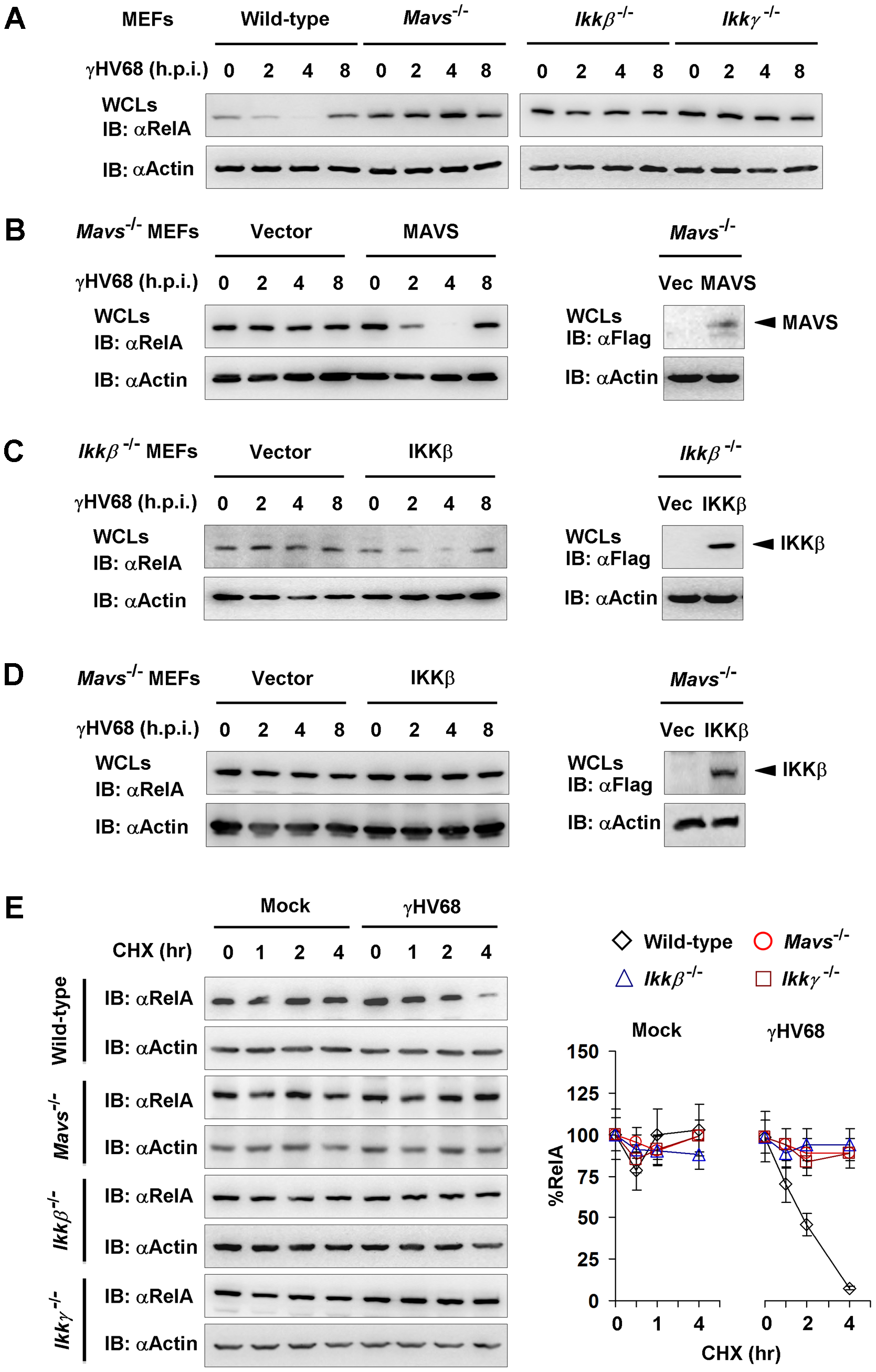 γHV68 infection induces transient RelA degradation in a MAVS- and IKKβ-dependent manner.