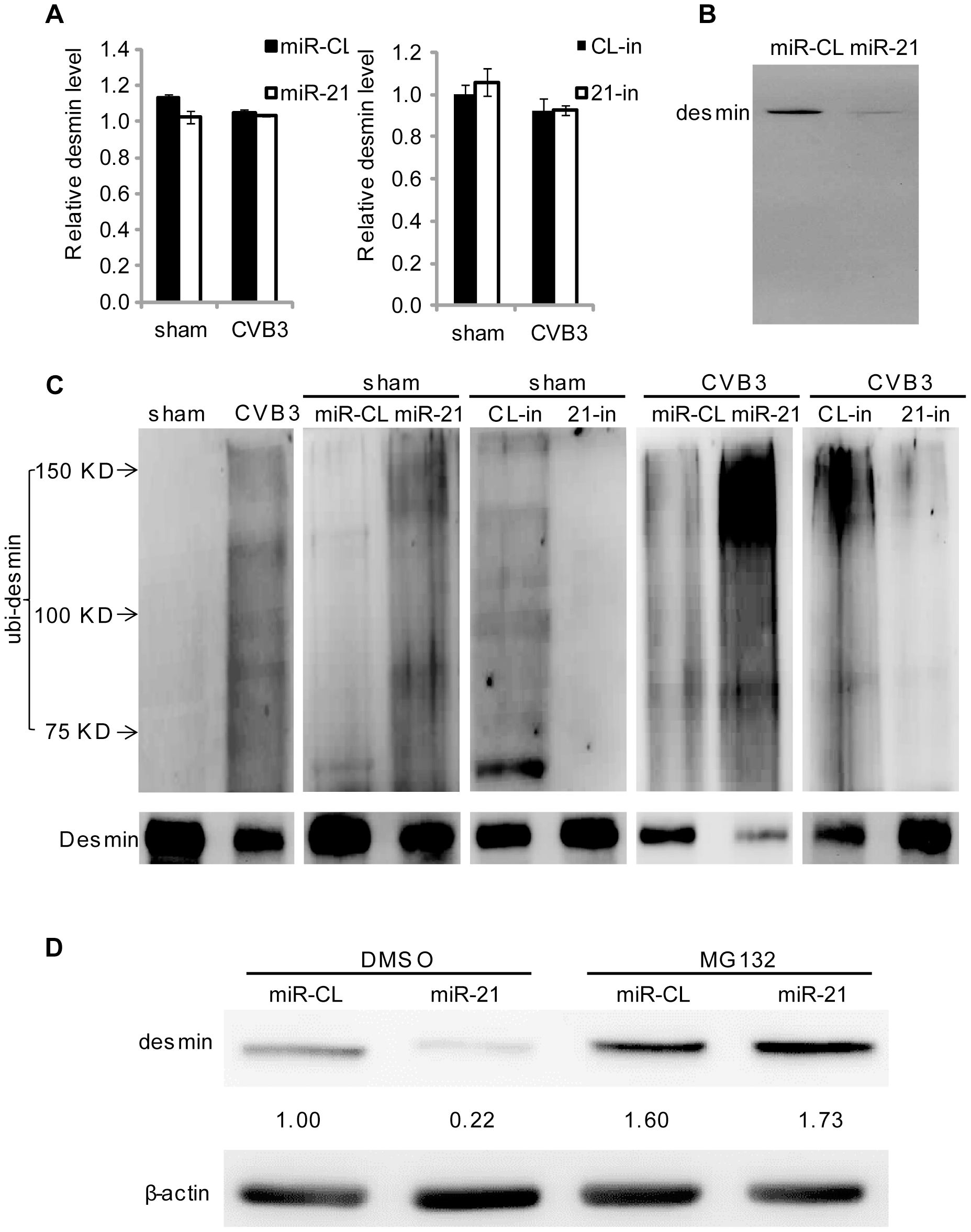 miR-21 promotes desmin degradation through the ubiquitin-proteasome pathway.