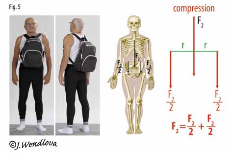 Fig. 5. Stressing the spine and the hip joints by the compressive force (F<sub>2</sub>) and the distribution of the compressive force (F<sub>2</sub>) from the spine into the hip joints while carrying a backpack.