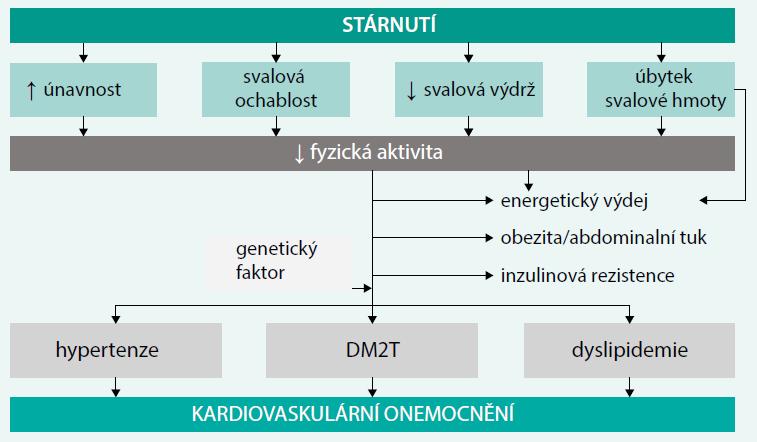 Schéma. Provázanost patogenetických procesů mezi věkem, svalovou funkcí a rizikem diabetu a kardiovaskulárního onemocnění. Upraveno podle [18]