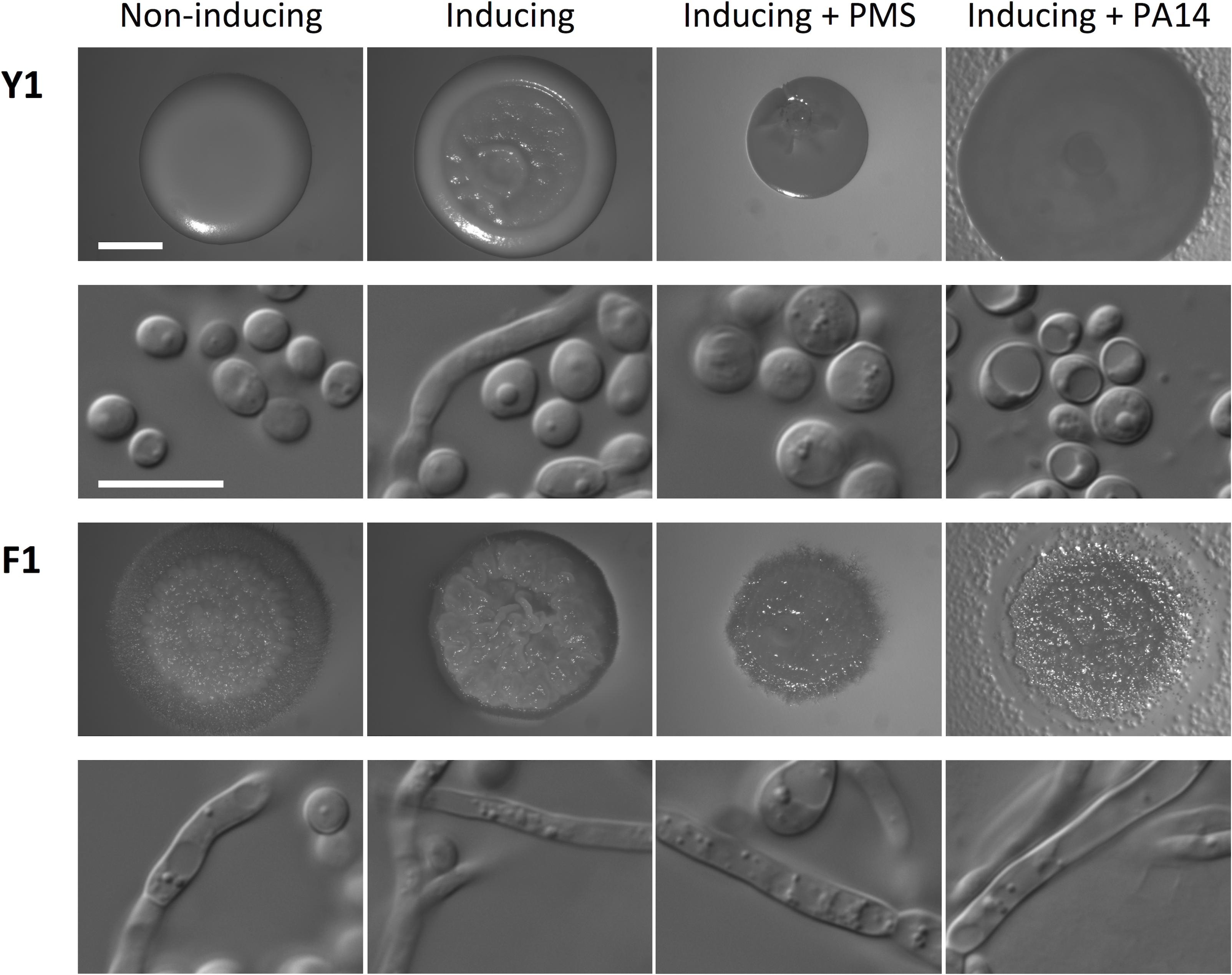 Phenazine methosulfate (PMS) or <i>P</i>. <i>aeruginosa</i> inhibits filamentation of <i>C</i>. <i>albicans</i> with standard growth morphology (Y1), but not of filamentous isolate F1.