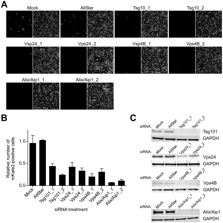 ESCRT regulators control CCHFV infection.