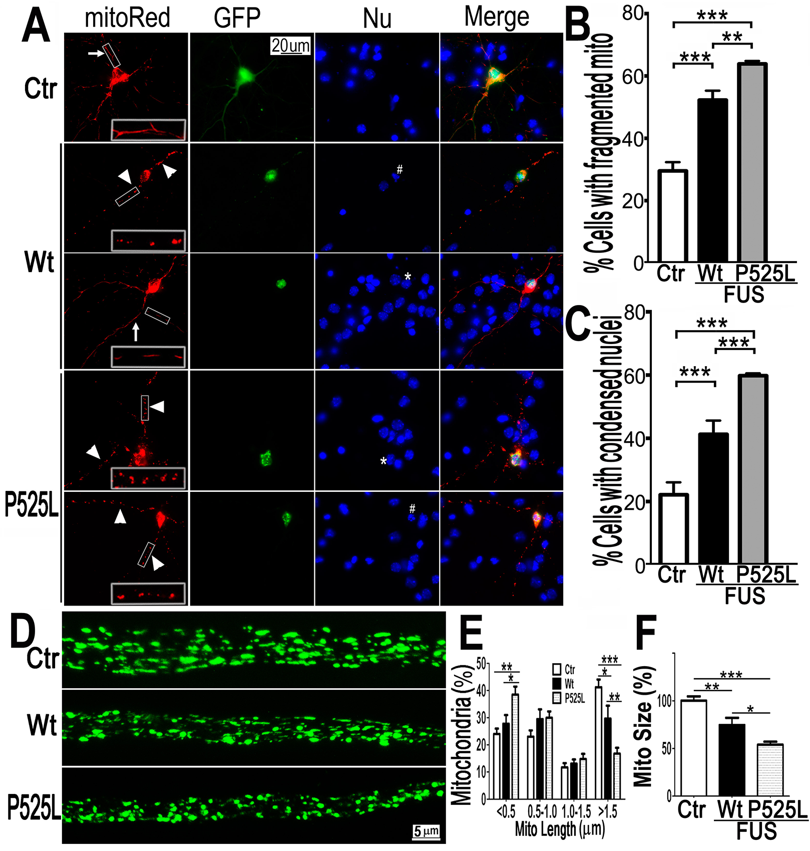 Expression of Wt- or P525L- mutant FUS in primary cortical neurons (A-C) or fly motor neurons (D-F)led to mitochondrial fragmentation.