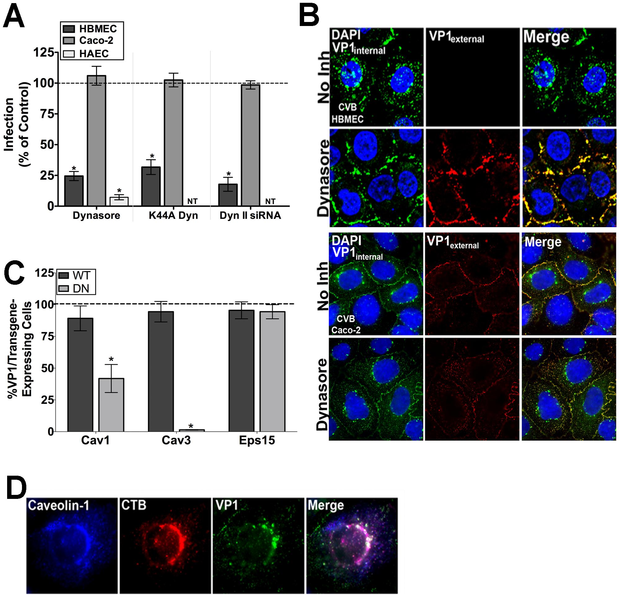 The CVB entry mechanism is distinct between polarized endothelia and epithelia.