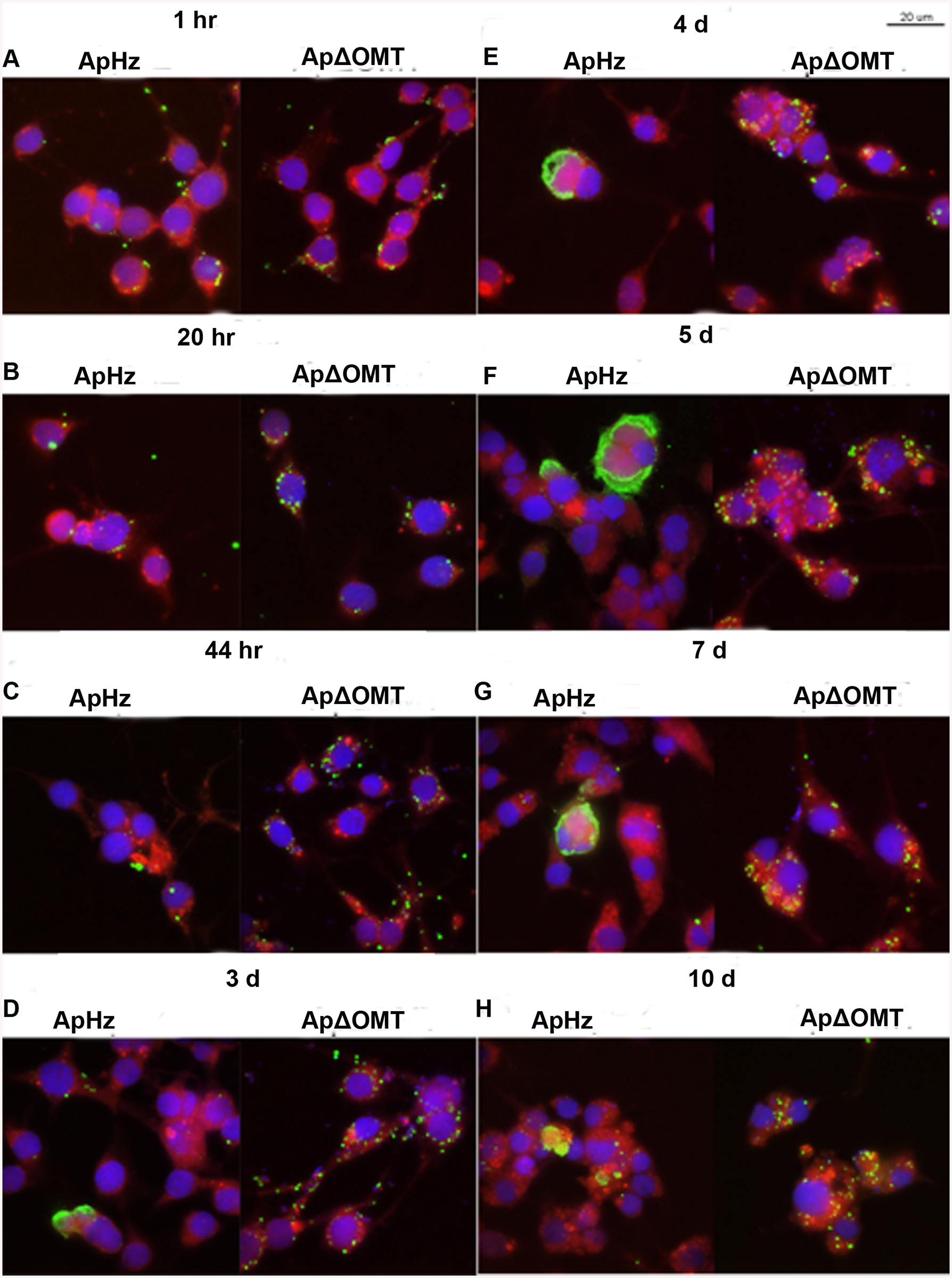 Time course of wild type and ΔOMT <i>A</i>. <i>phagocytophilum</i> development within ISE6 cells