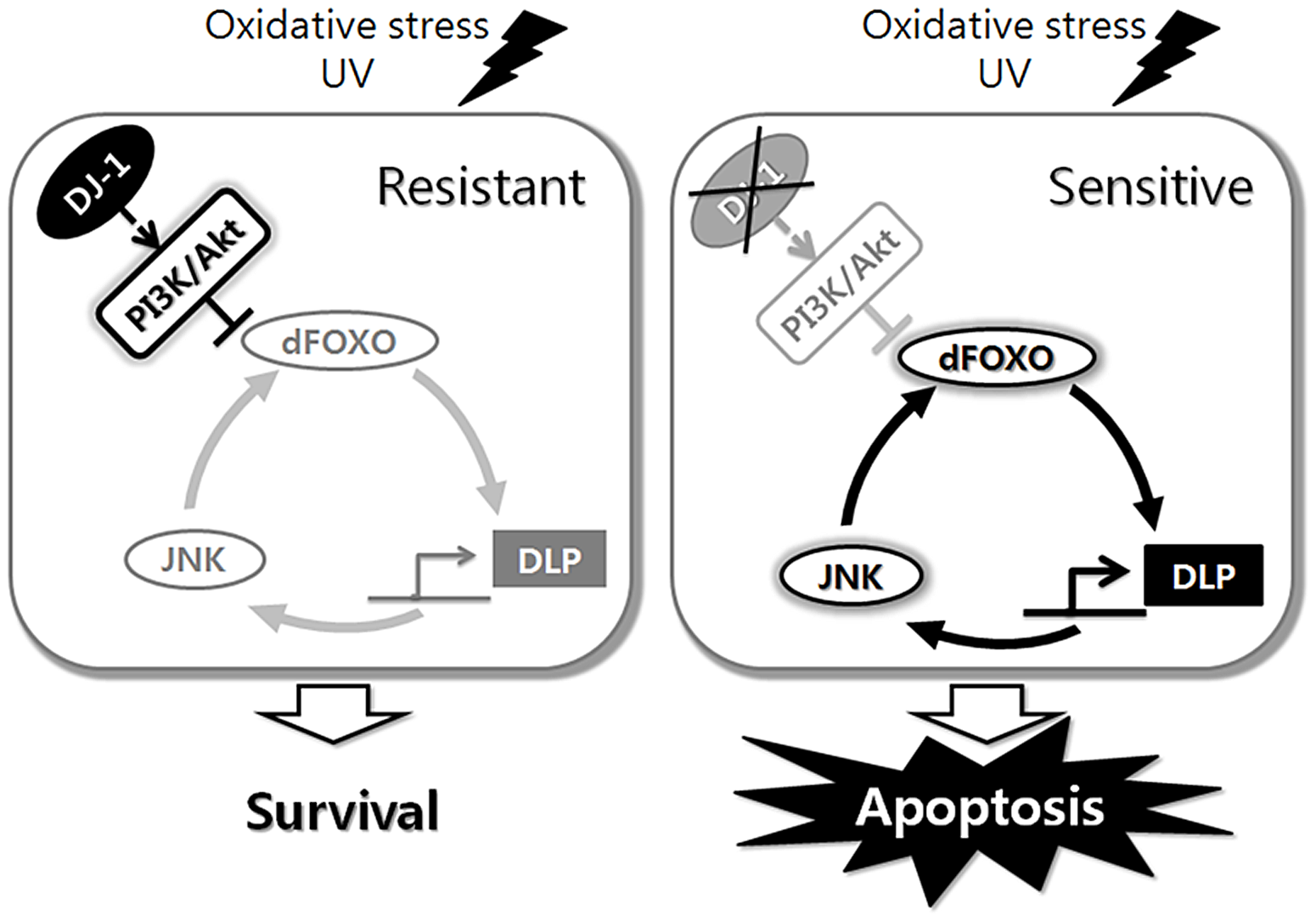 Schematic representation of the role of <i>Drosophila</i> DJ-1 in the cellular response to oxidative stress or UV.