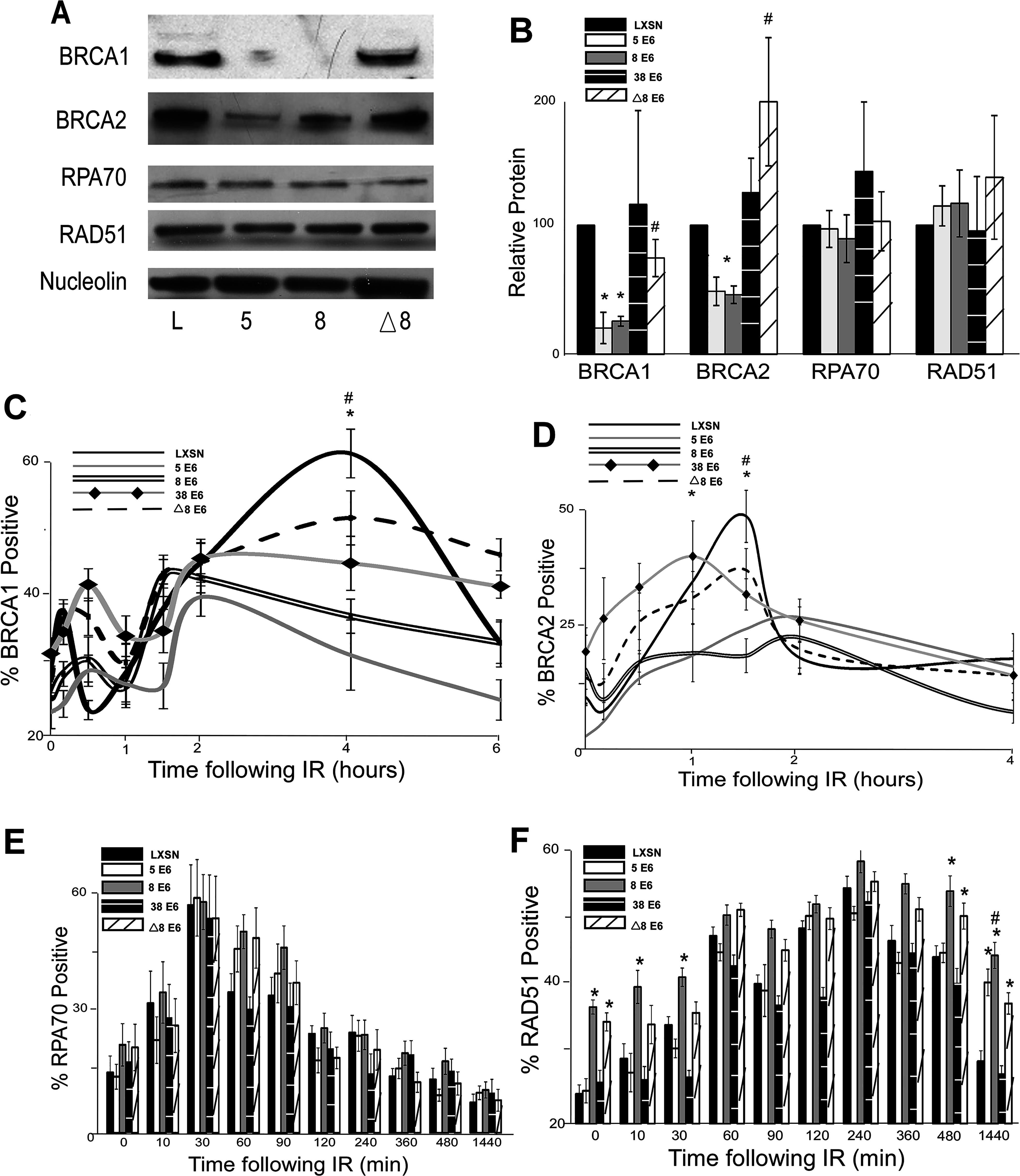 β-HPV 5 and 8 E6 attenuate HDR protein activation, abundance and resolution of damage-induced nuclear foci.