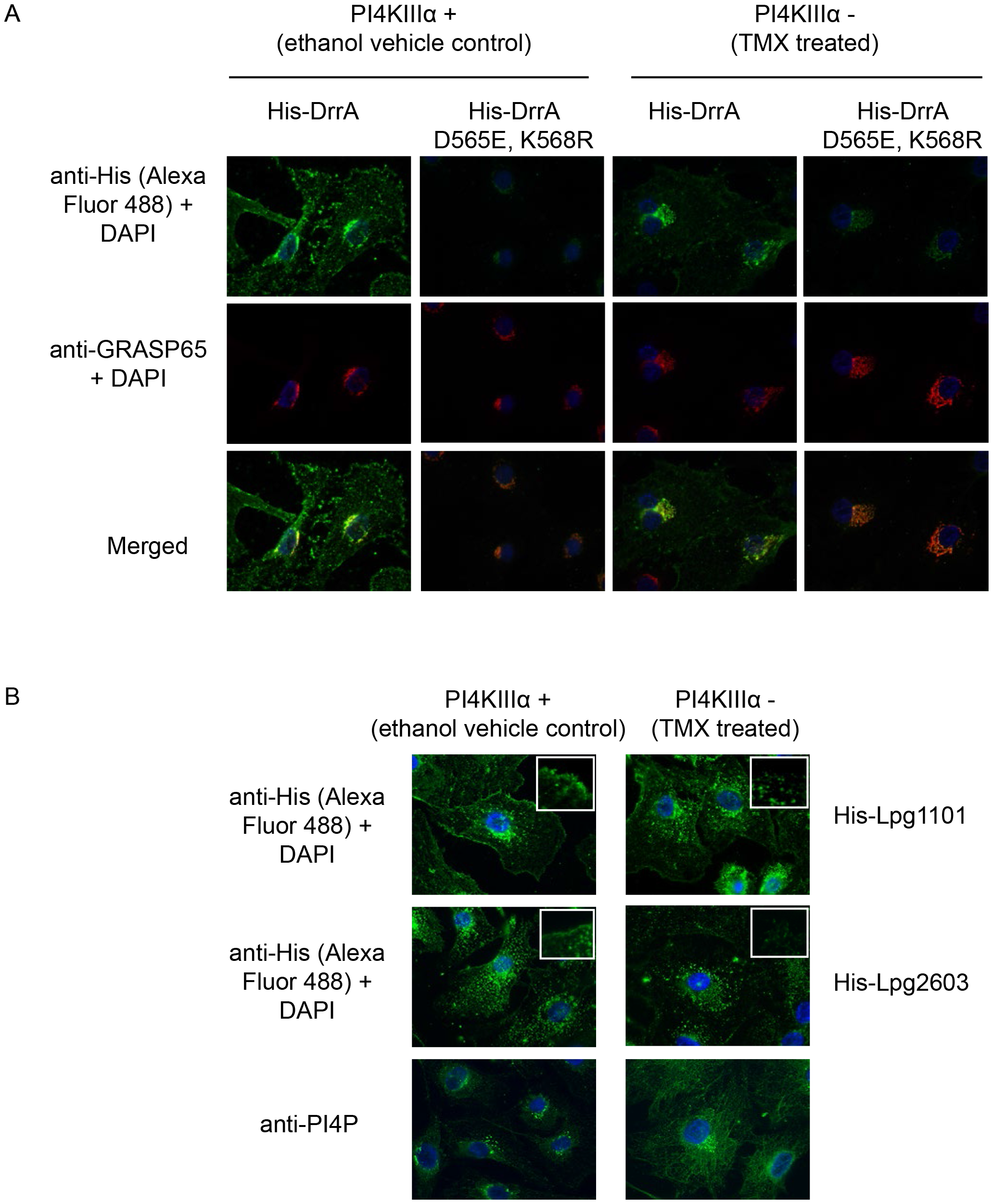 PI4KIIIα is important for localization of LEPR effectors to the PM.