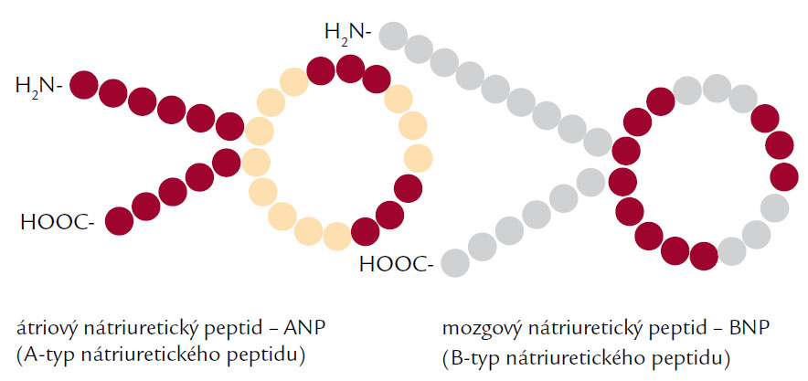 Štruktúra natriuretických peptidov – ANP a BNP.