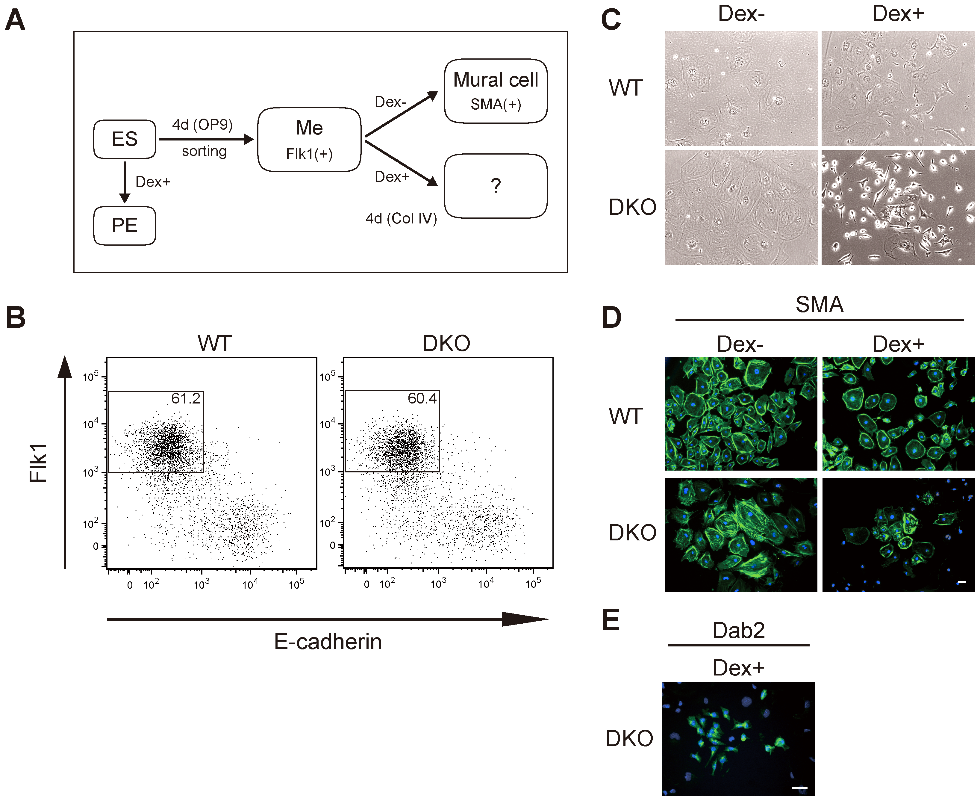 Gata4-induced primitive endoderm differentiation from <i>Dnmt3a</i><sup>−/−</sup><i>Dnmt3b</i><sup>−/−</sup> (DKO) Flk1(+) mesoderm cells derived from OP9 co-culture conditions.