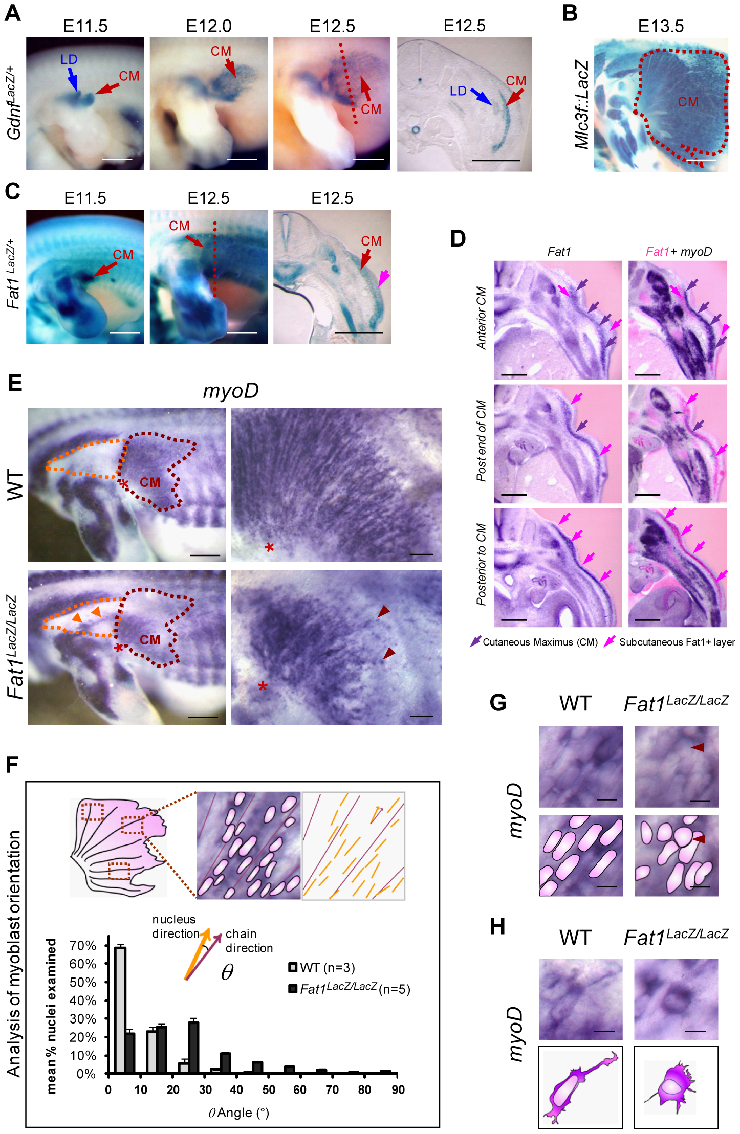 <i>Fat1</i> controls the shape of subsets of scapular muscle by modulating myoblast polarity during planar migration.