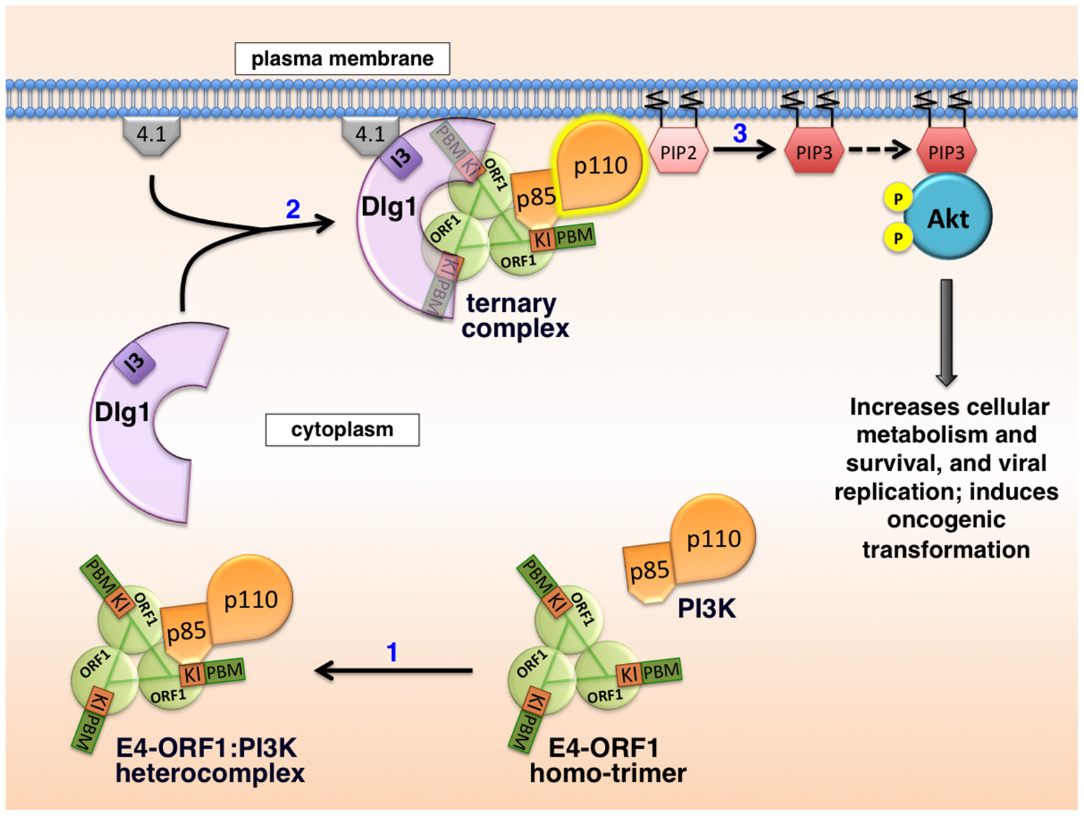 Proposed molecular mechanism for PI3K activation by the adenovirus E4-ORF1 protein.