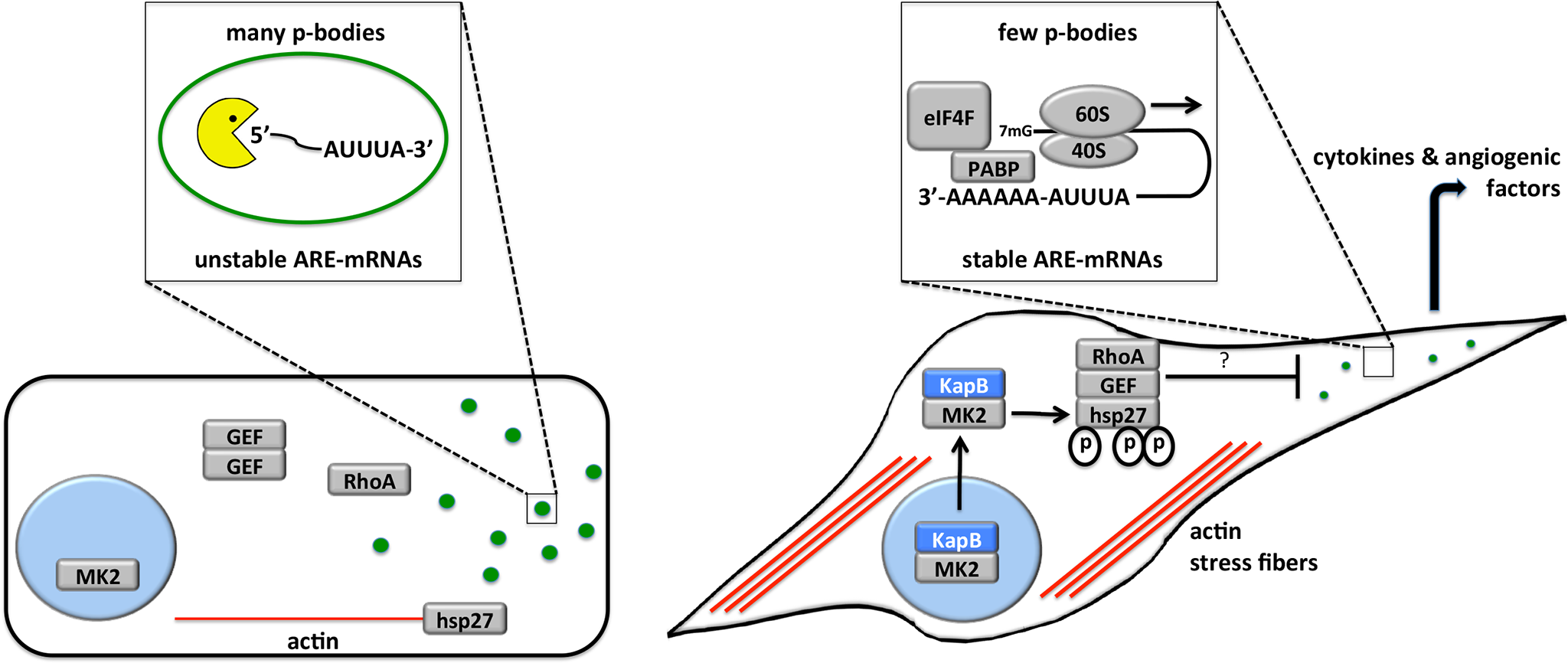 Model describing the effects of KapB in altering endothelial cell cytoskeleton and reprogramming gene expression by disrupting P-bodies and stabilizing ARE-mRNAs.