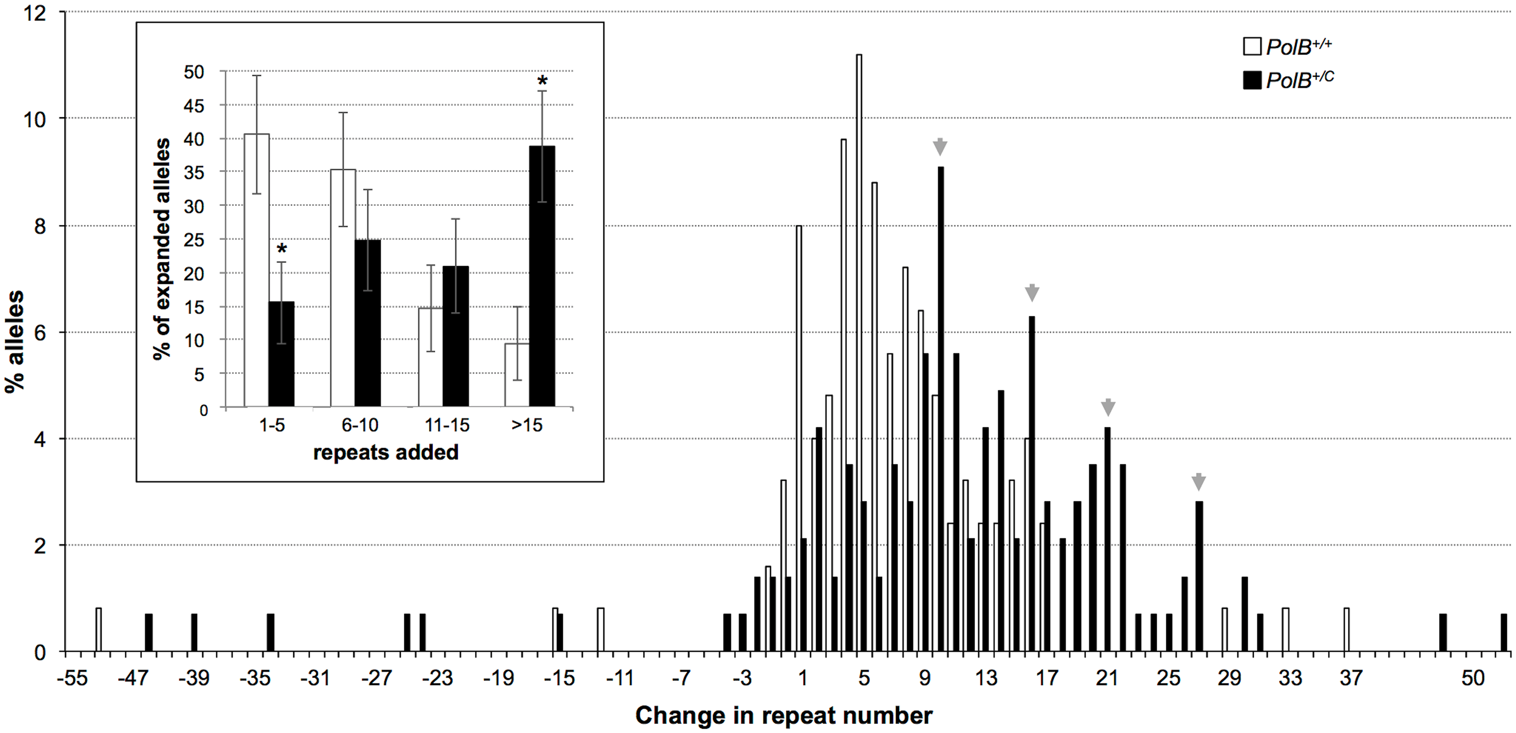 The effect of heterozygosity for the <i>PolBC</i> mutation on the distribution of repeat number changes seen in the gametes of 11-month-old male mice.