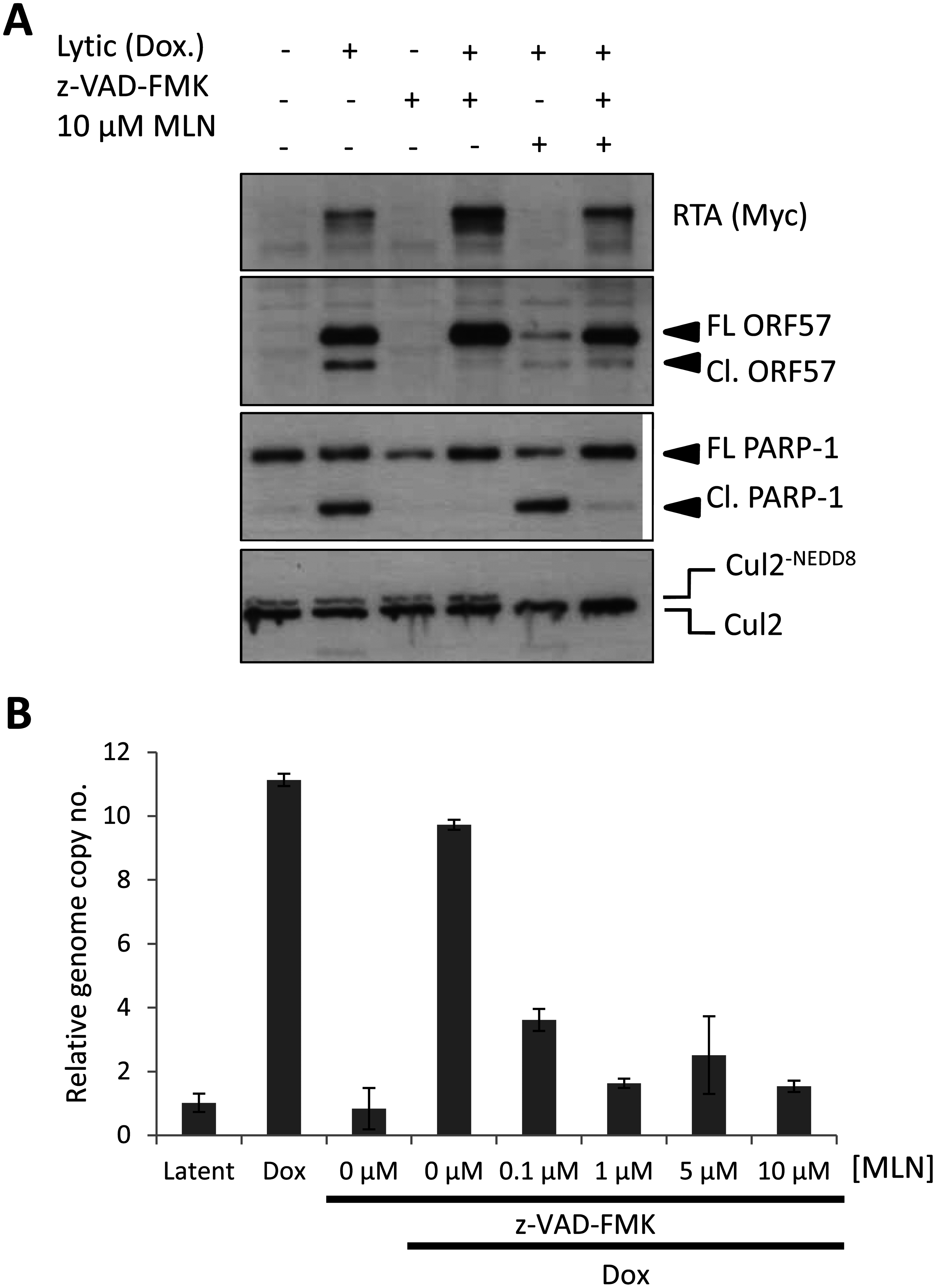 Inhibiting MLN4924-induced apoptosis does not restore lytic reactivation.