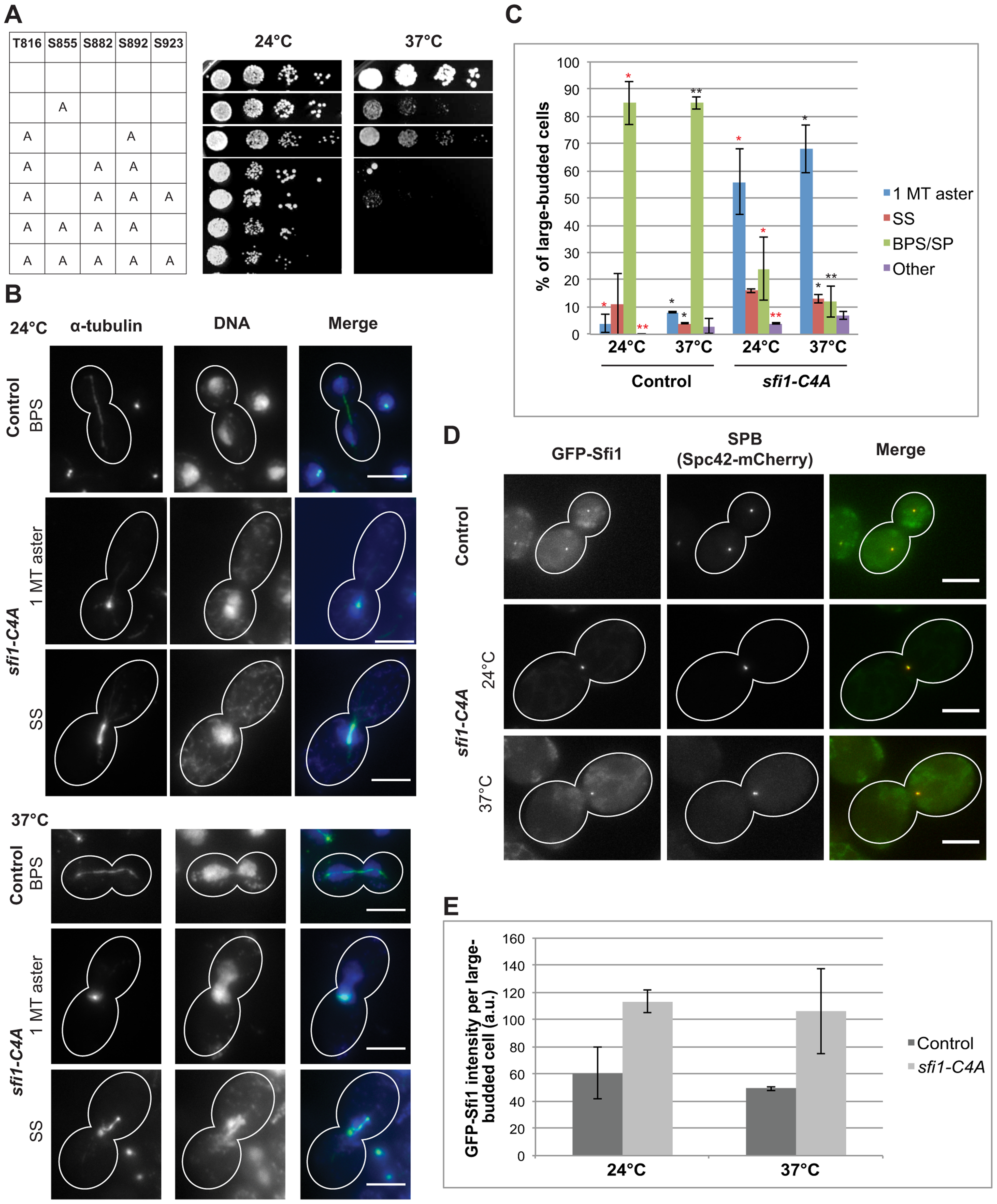 <i>sfi1-C4A</i> displays impaired growth and spindle and chromosome segregation defects.