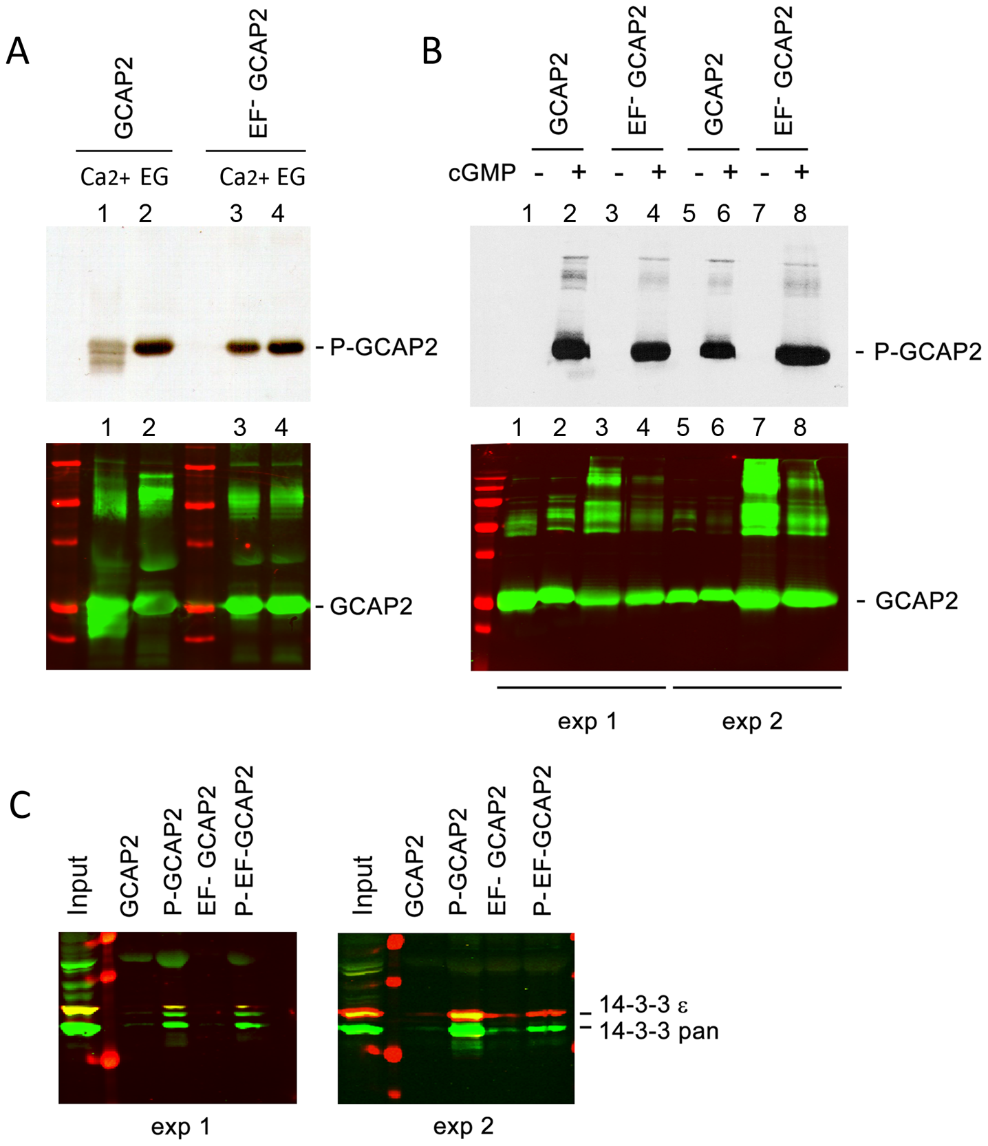 The protein 14-3-3 binds to recombinant GCAP2 in a phosphorylation-dependent manner.
