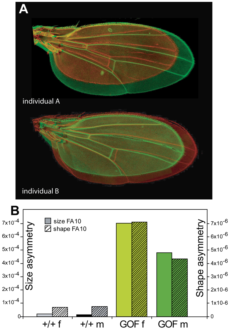 Extreme wing fluctuating asymmetry in flies overexpressing <i>CycG</i>.