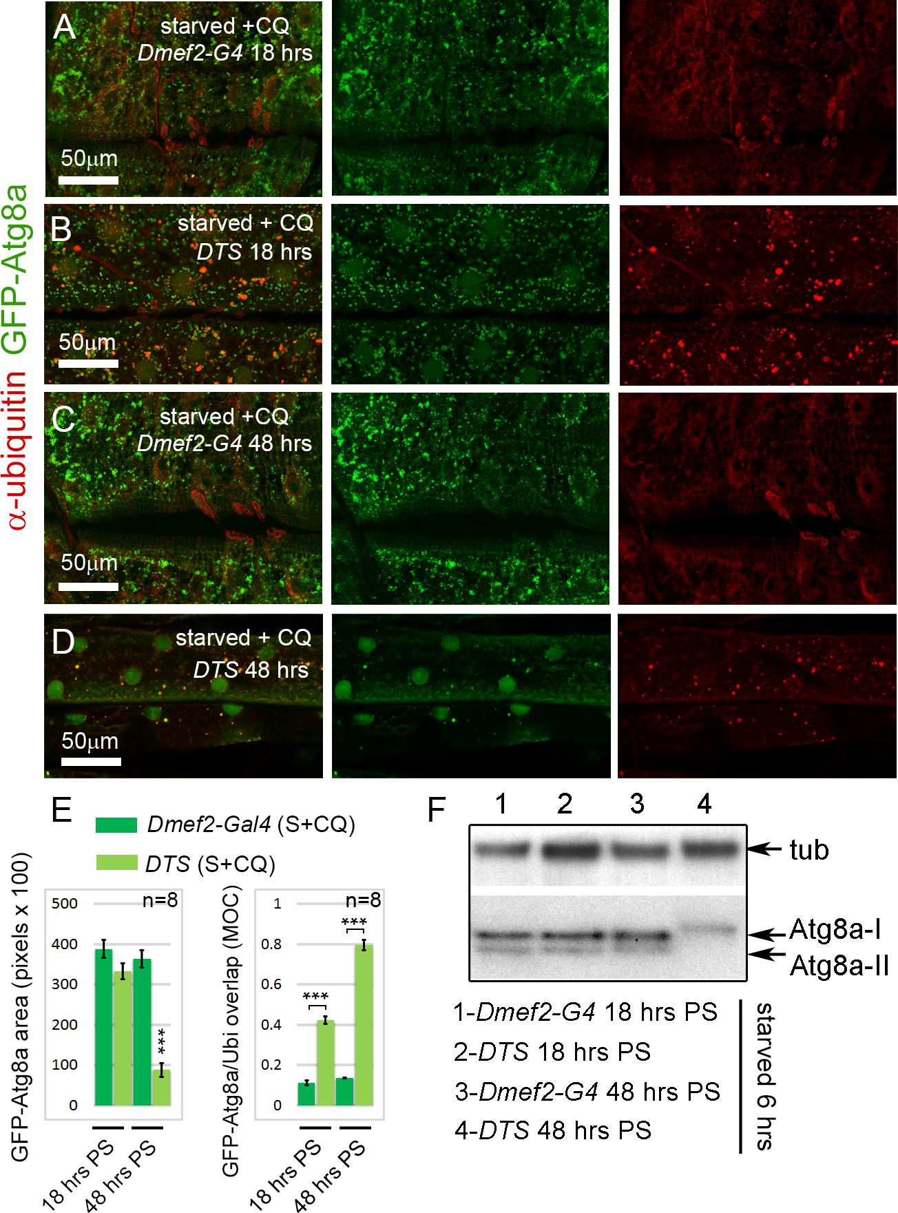 Short-term, but not long-term, proteasome disruption triggers autophagic clearance of aggregates