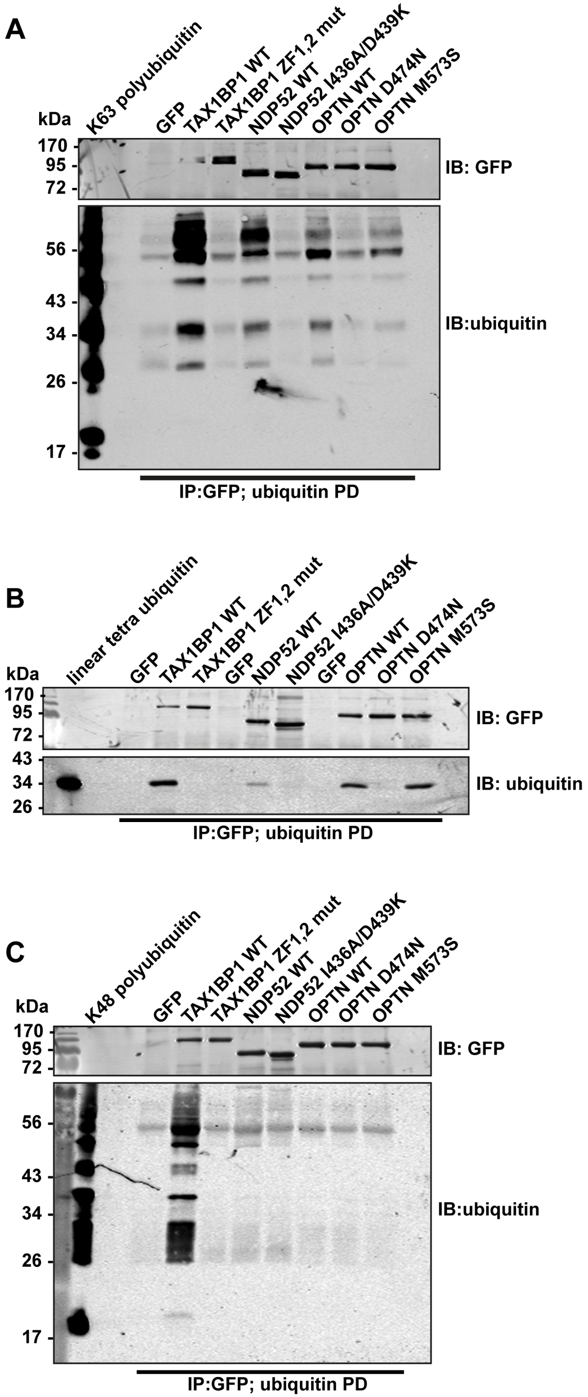Binding of TAX1BP1, NDP52 and optineurin to different ubiquitin chain types.