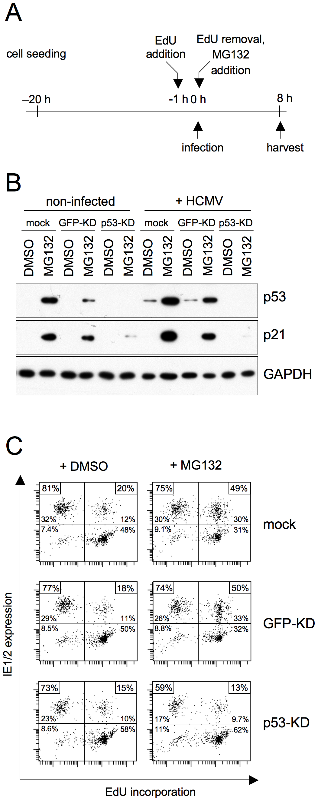 The positive effect of proteasome inhibition on MIE gene expression in S/G2 is mediated by p53 stabilization.