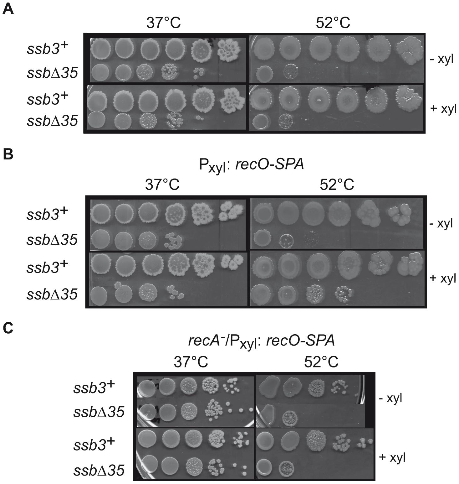RecO overexpression suppresses temperature-sensitive growth of <i>ssbΔ35</i> cells.