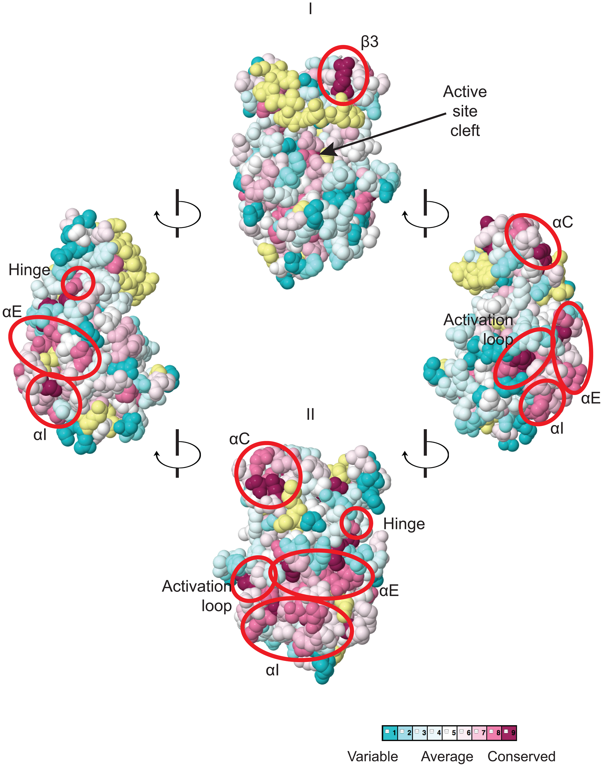 Predicted three-dimensional structure and sequence conservation of surface residues of the Gcn2 YKD.