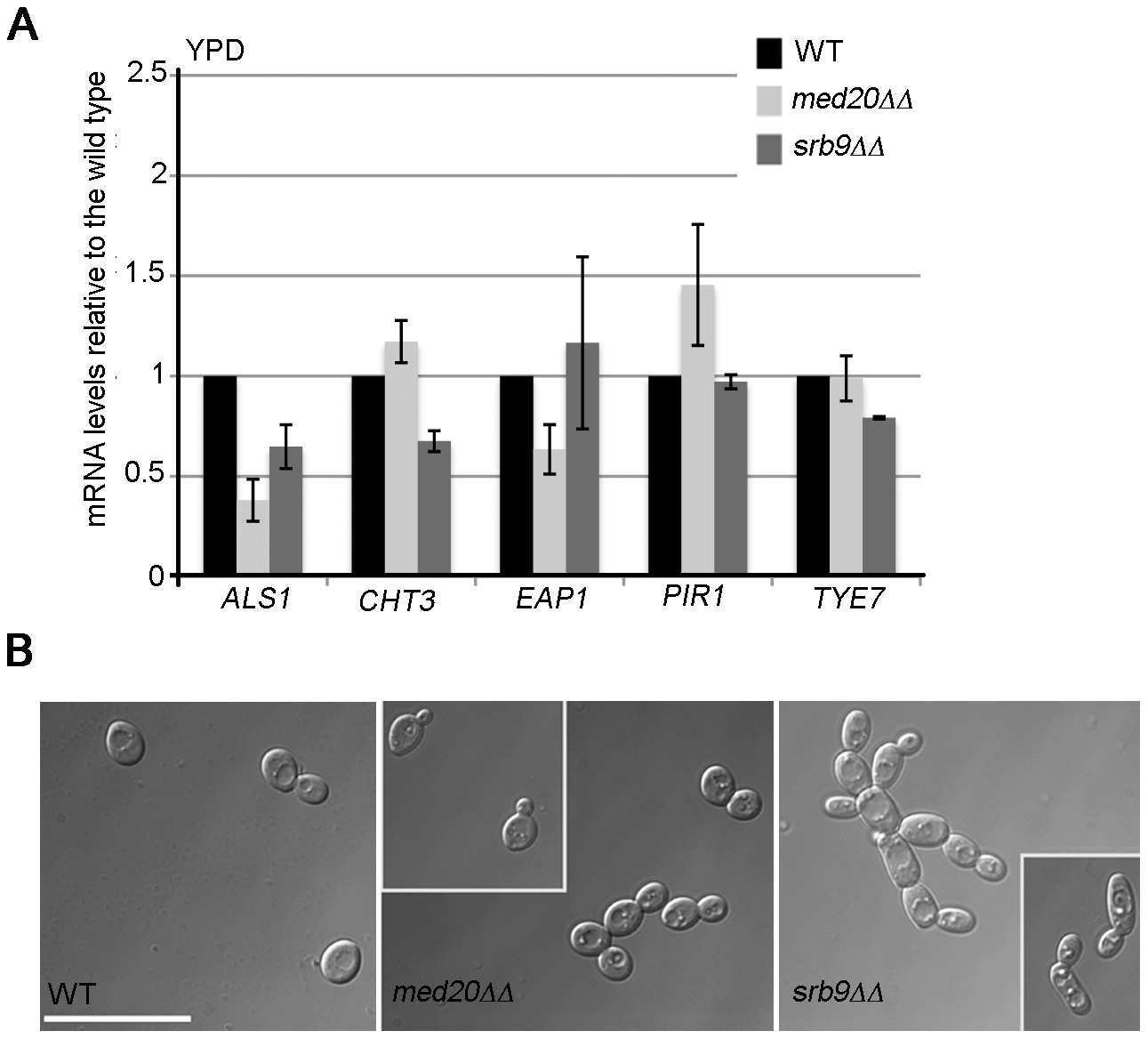Regulation of adhesins and Ace2-dependent genes by <i>MED20</i> and <i>SRB9/MED13</i> in <i>C. albicans</i>.