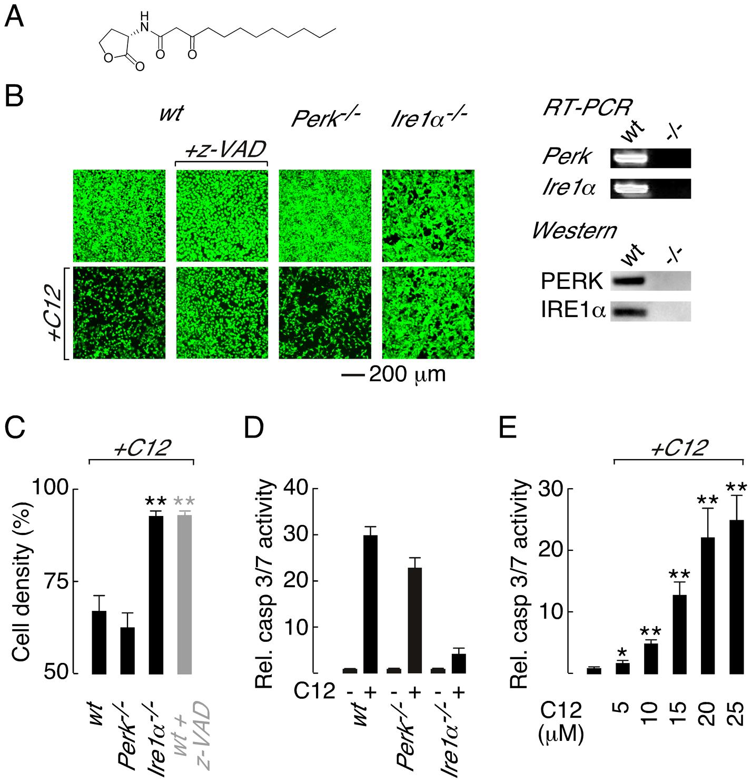 Deletion of <i>Ire1α</i> prevents C12 cytotoxicity.