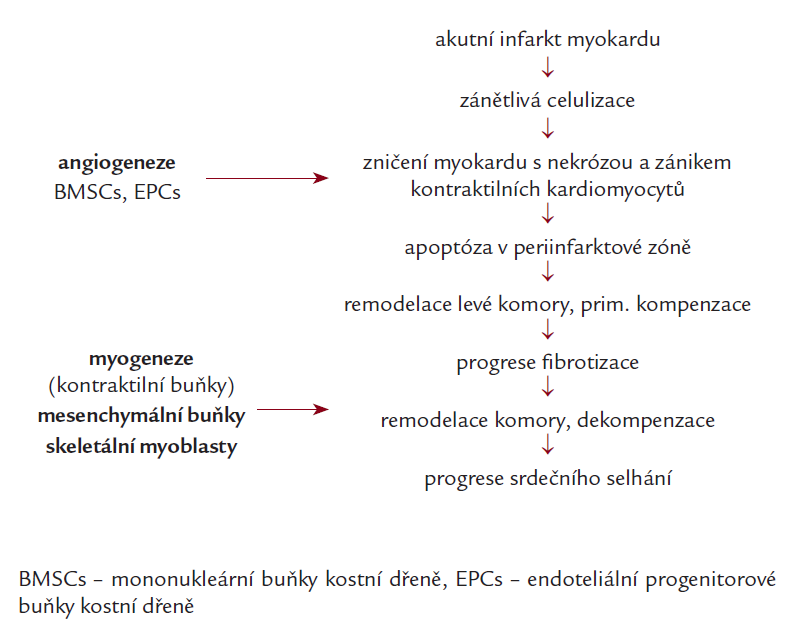 Hypotéza výběru kmenových buněk vzhledem k jejich diferenciační schopnosti. Upraveno podle [24,25].