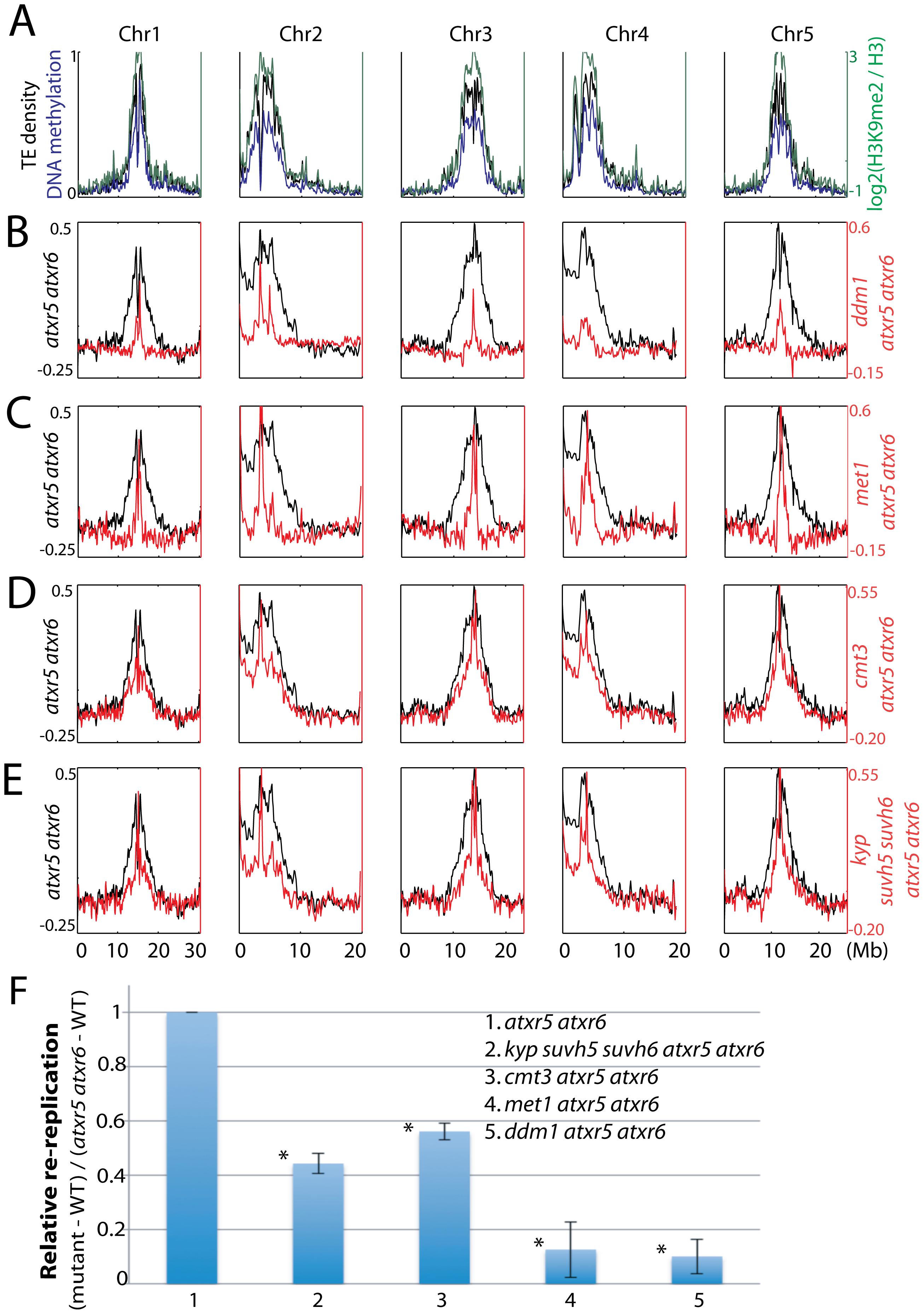 Relationship between ATXR5/6 and DNA methylation in regulating DNA replication in heterochromatin.