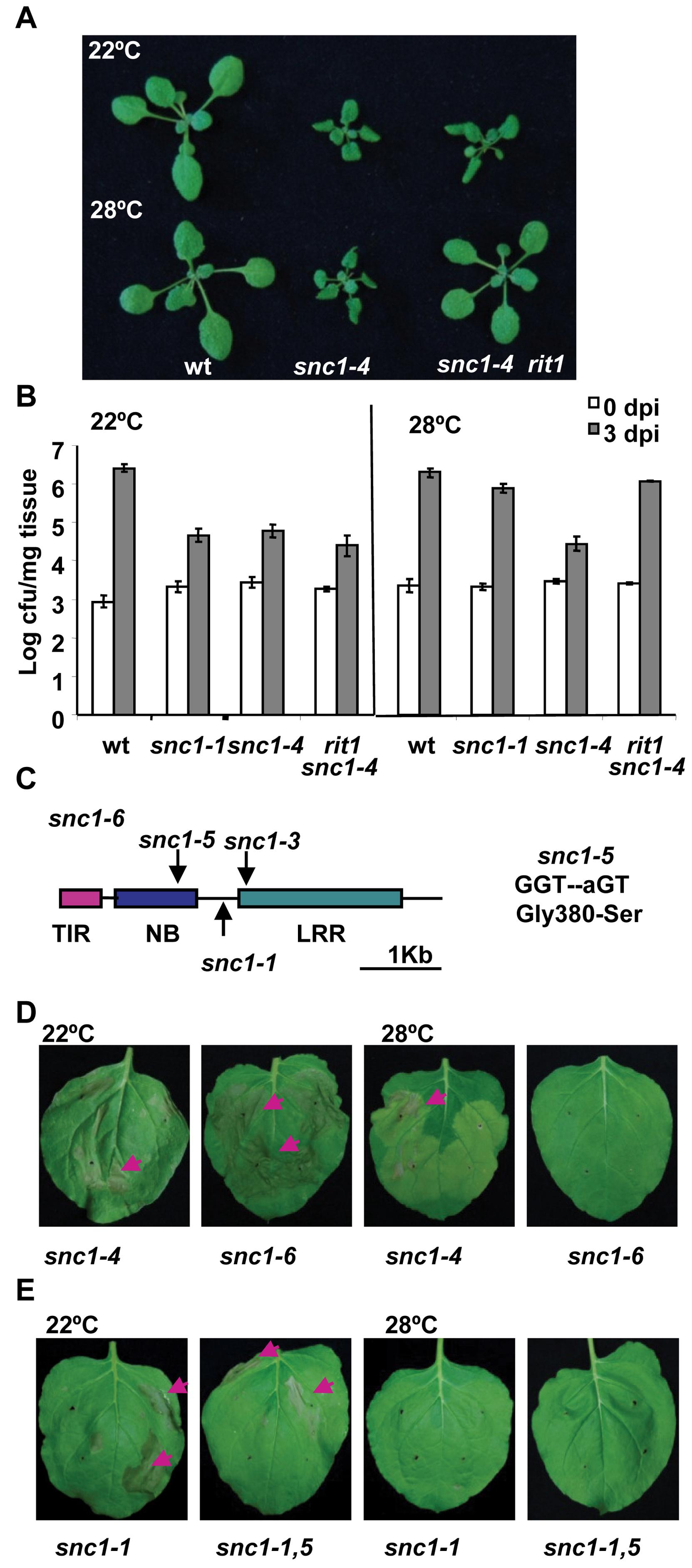 The <i>snc1-5</i> mutation reverts the heat-stable resistance of <i>snc1-4</i>.