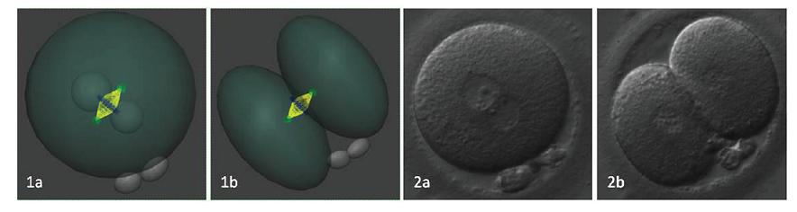 Rovnomernosť distribúcie polarizovanej ooplazmy je ovplyvnená rovinou delenia, ktorá je daná polohou prvojadier pred nástupom syngamie. 1a/b. 3D rekonštrukcia polohy deliaceho vretienka v závislosti od polohy prvojadier. 2a/b. embryo v reálnom zobrazení pred a po ukončení prvého bunkového cyklu. Autor obrázkov a 3D modelov D. Hlinka