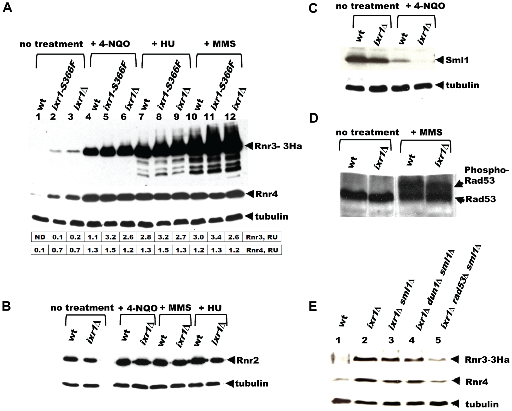 Deletion of <i>IXR1</i> leads to increased Rnr3 and Rnr4 levels and decreased Sml1 levels.