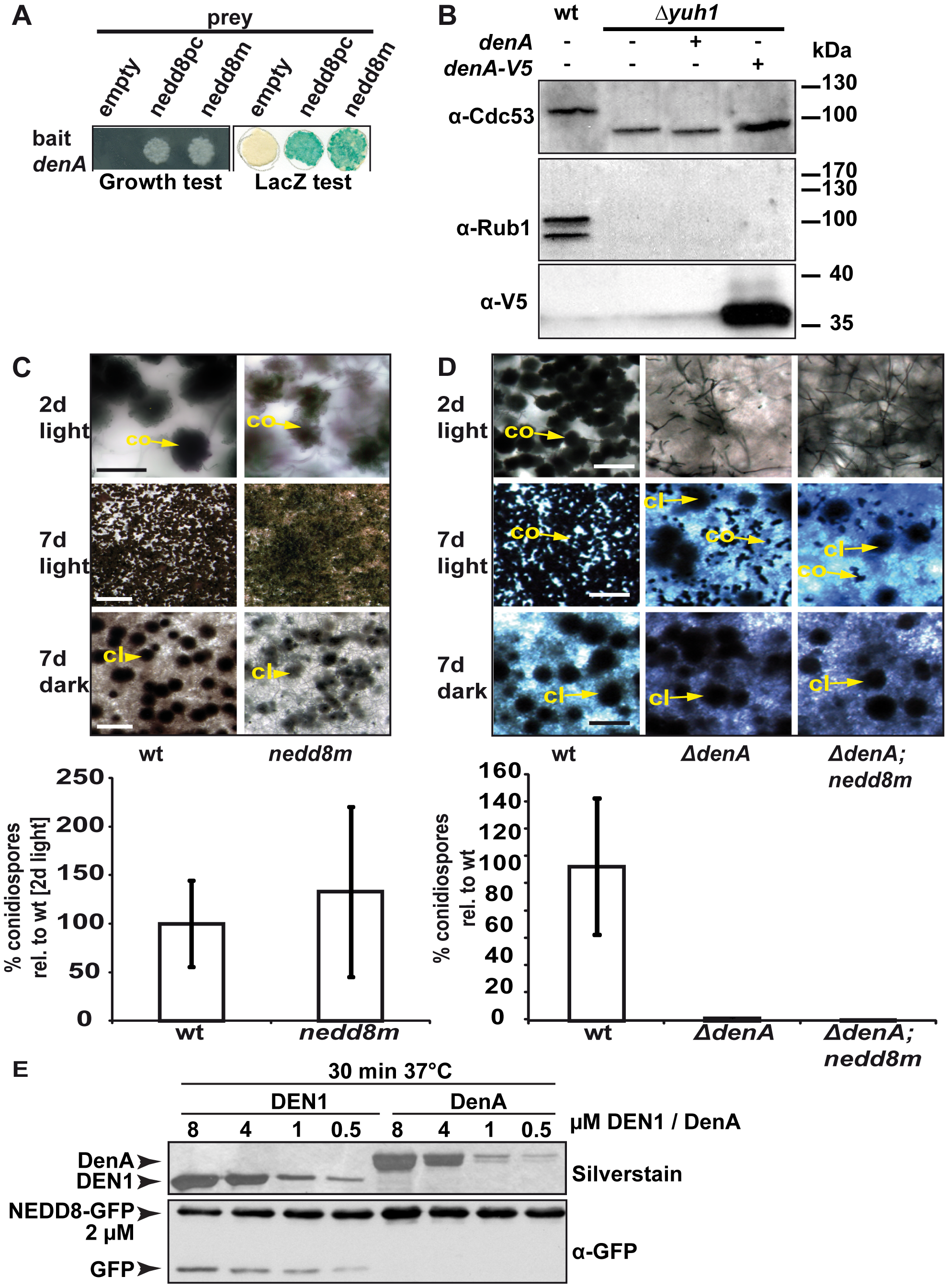 Fungal DenA developmental functions are independent of Nedd8 processing activity.