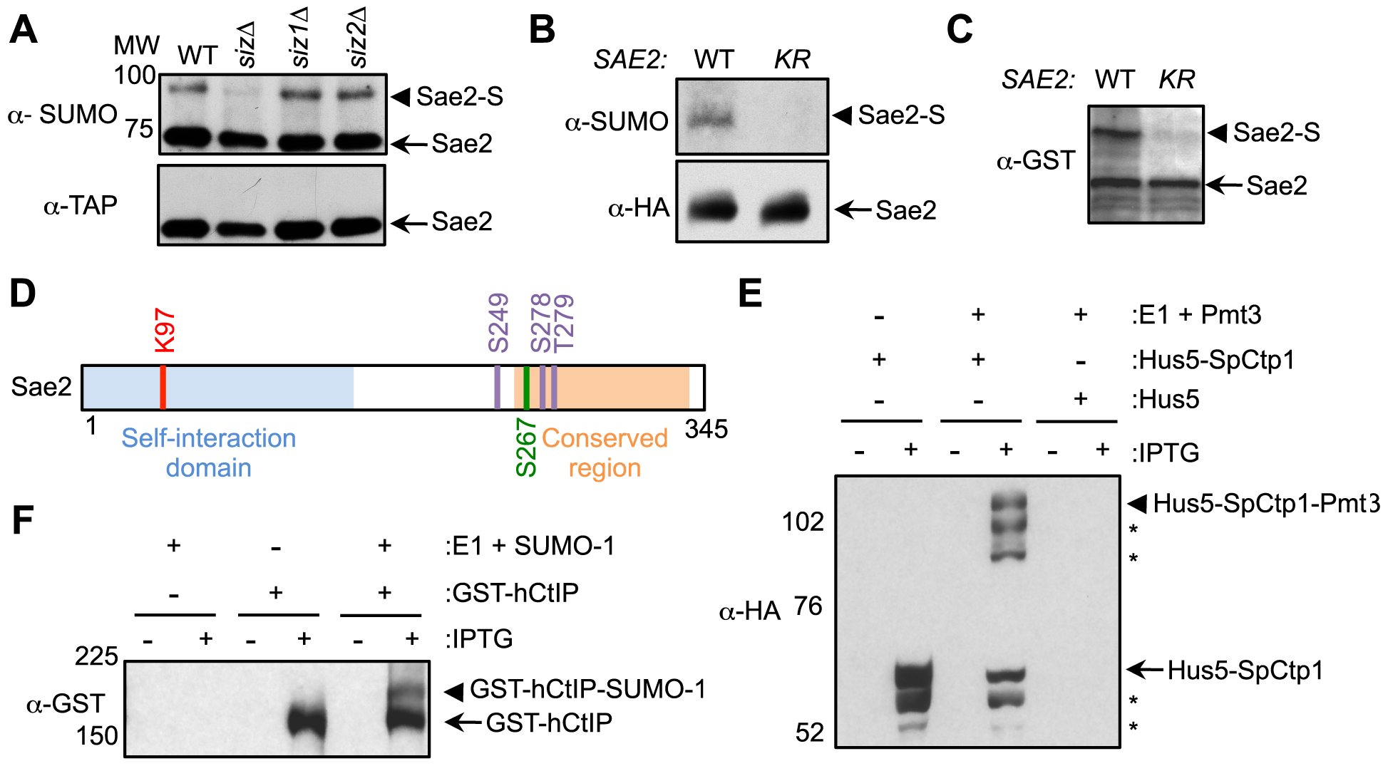 Sae2 sumoylation site mapping and conserved sumoylation of Sae2 orthologs.
