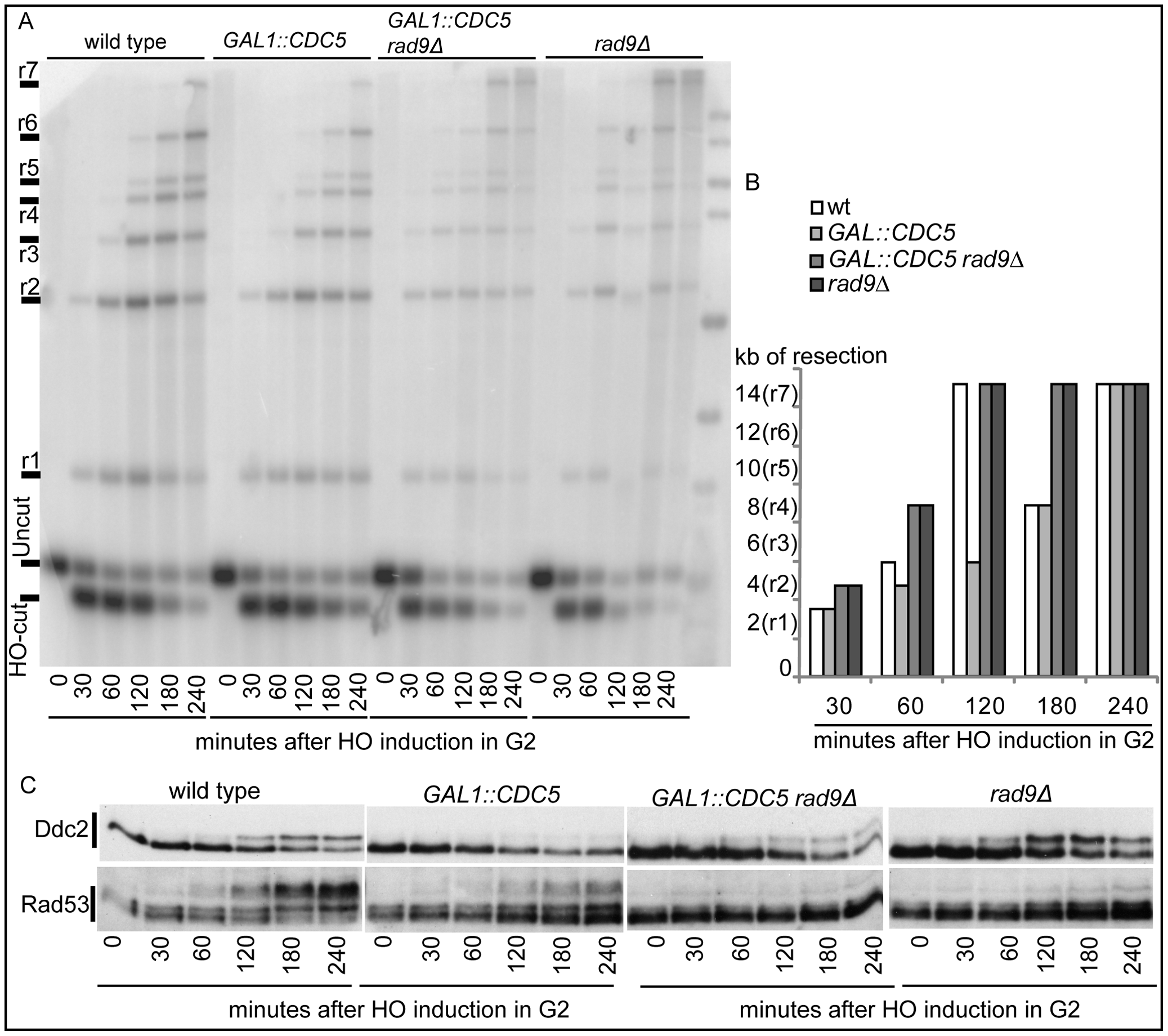 Deletion of <i>RAD9</i> gene accelerates DSB resection despites high Cdc5's levels.