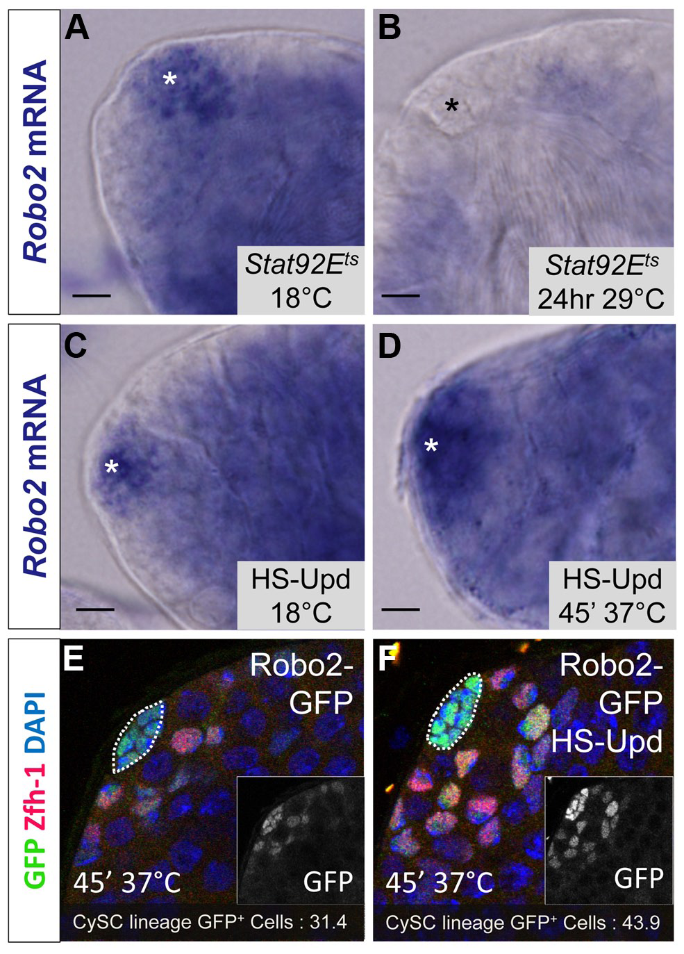 <i>Robo2</i> transcription levels in the testis depend on JAK-STAT signaling.