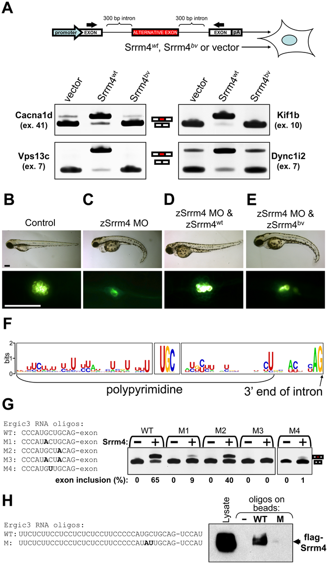 Srrm4-dependent splicing requires the C-terminal region of Srrm4 and a novel motif in the pre–mRNA.