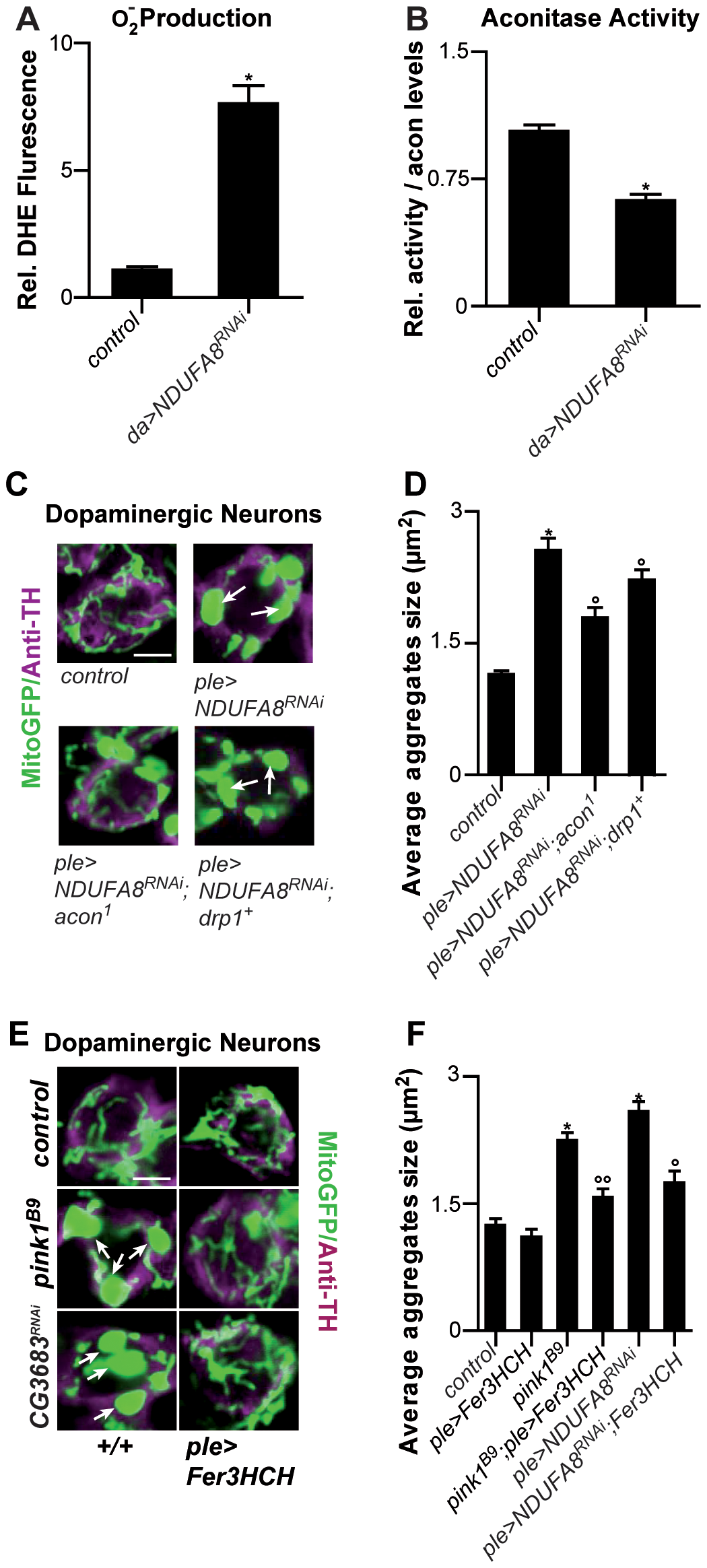 Mitochondrial morphological defects in DA neurons of Complex I–deficient and <b><i>pink1<sup>B9</sup></i></b><b> flies involve iron-mediated toxicity.</b>