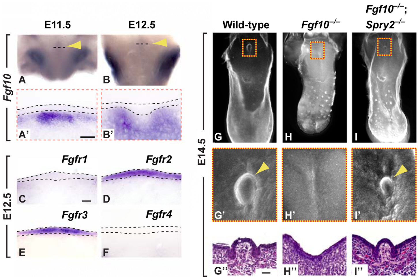 <i>Fgf10</i> is required for CVP development and is antagonized by <i>Spry2</i>.