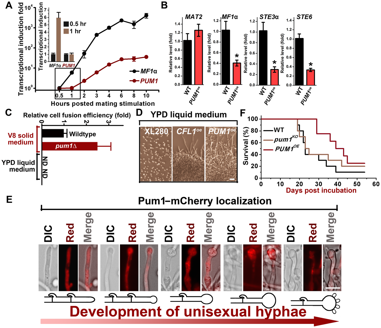 Pum1 controls filamentation but not early mating processes.