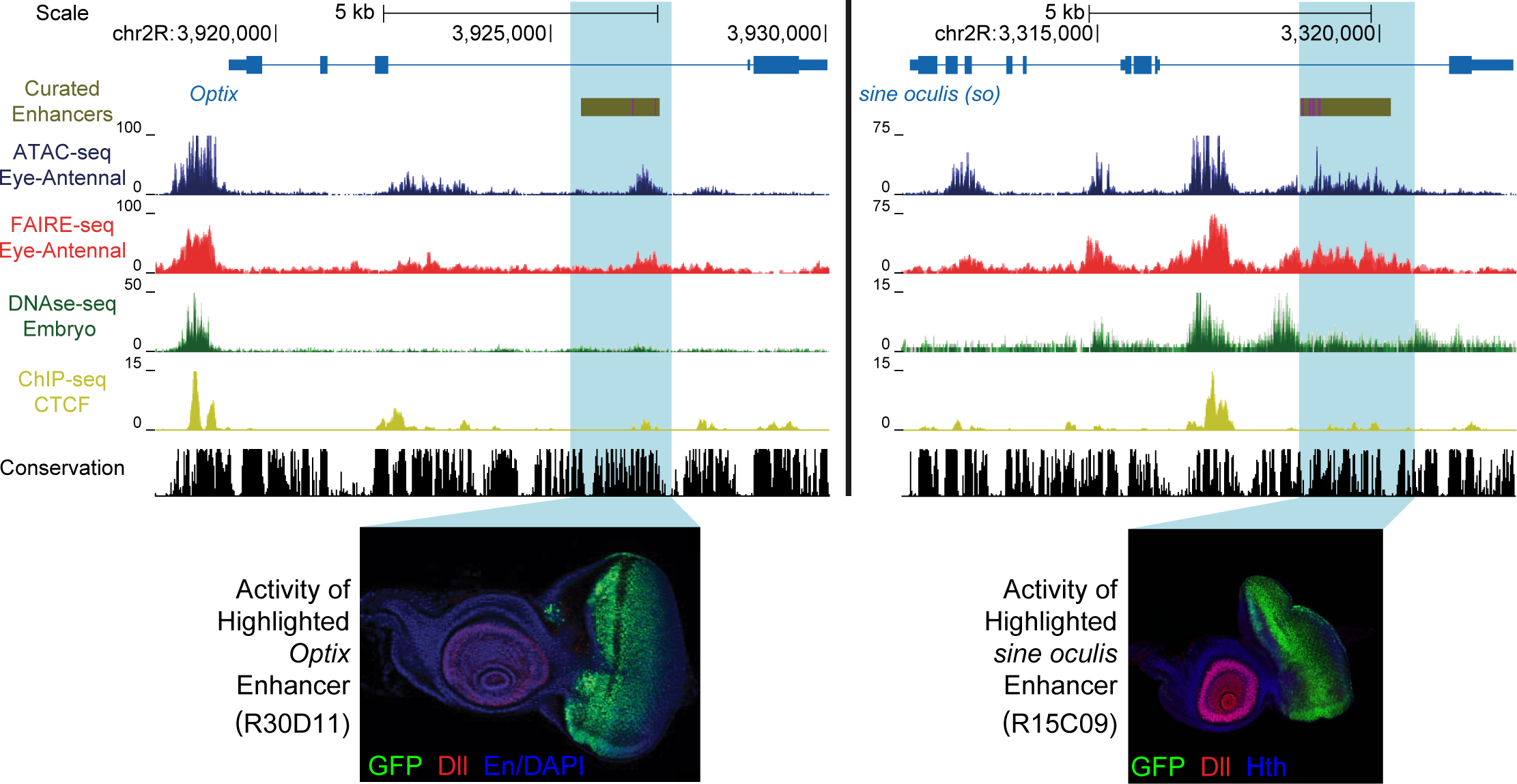 Enhancer identification in the eye primordium by ATAC-seq and FAIRE-seq.