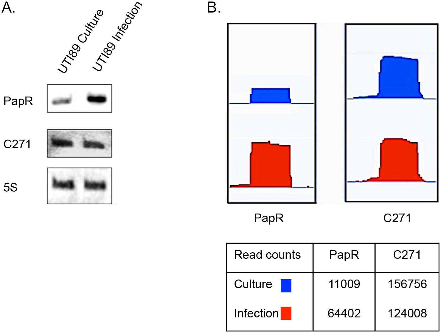 Novel sRNAs detected in UTI89.