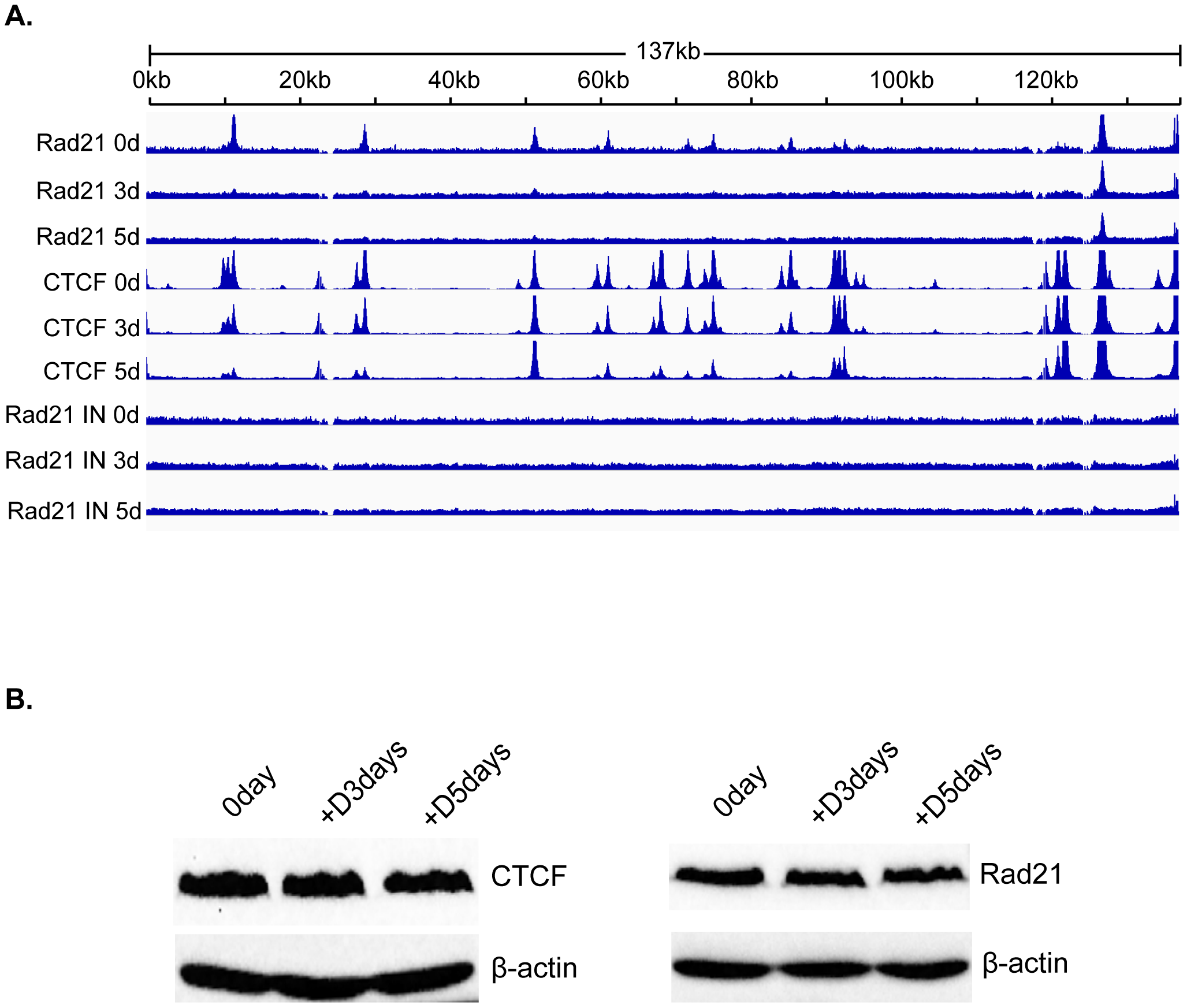 Changes in Rad21 binding to the KSHV genome during KSHV reactivation and lytic replication.