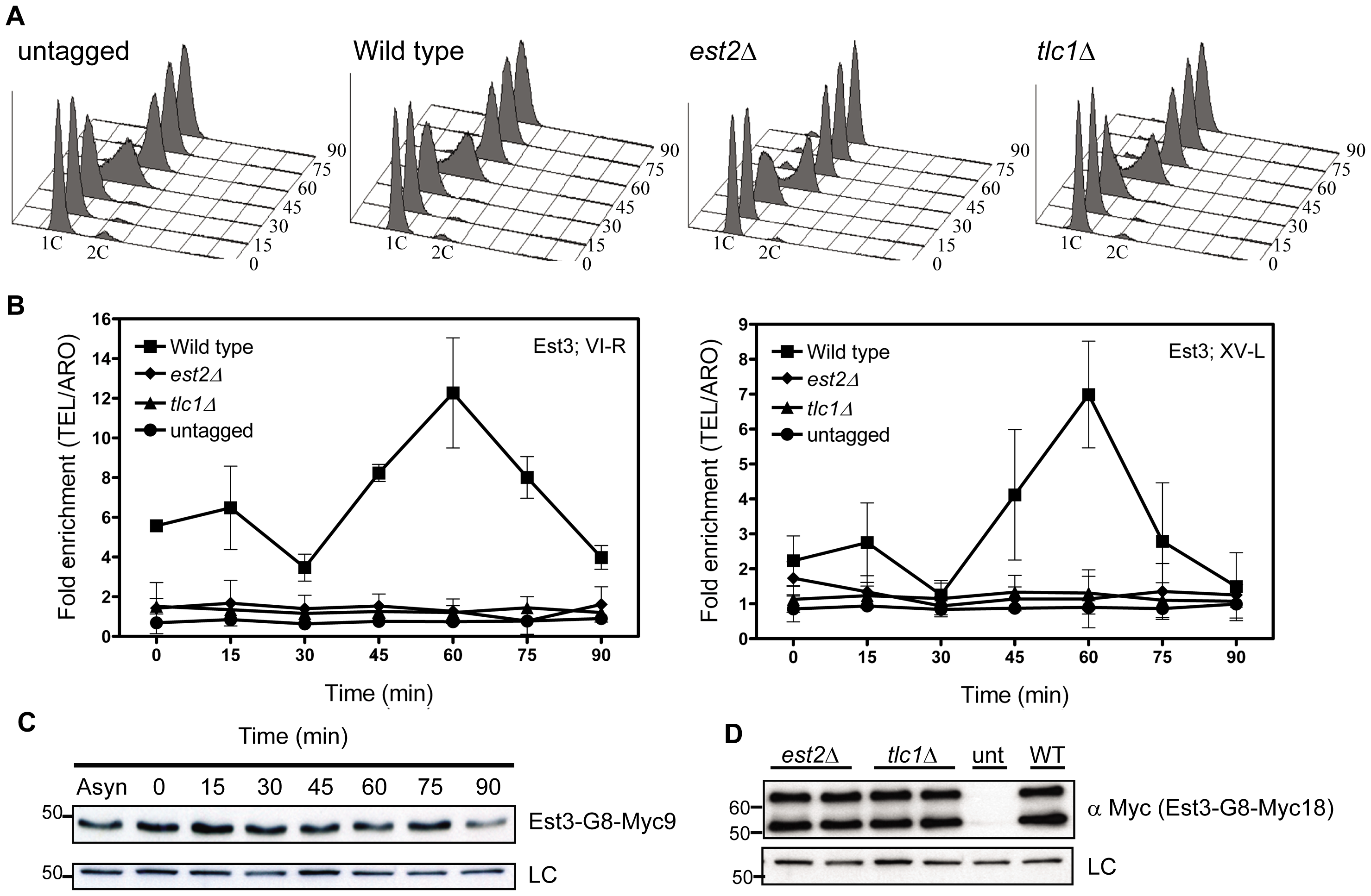 Est3 telomere binding is biphasic but highest in late S/G2 phase.