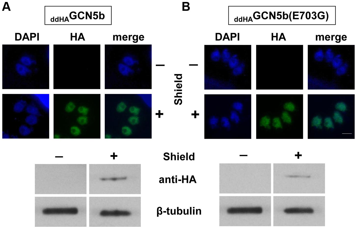 Inducible expression of ectopic <sub>ddHA</sub>GCN5b and <sub>ddHA</sub>GCN5b(E703G) in <i>Toxoplasma</i>.