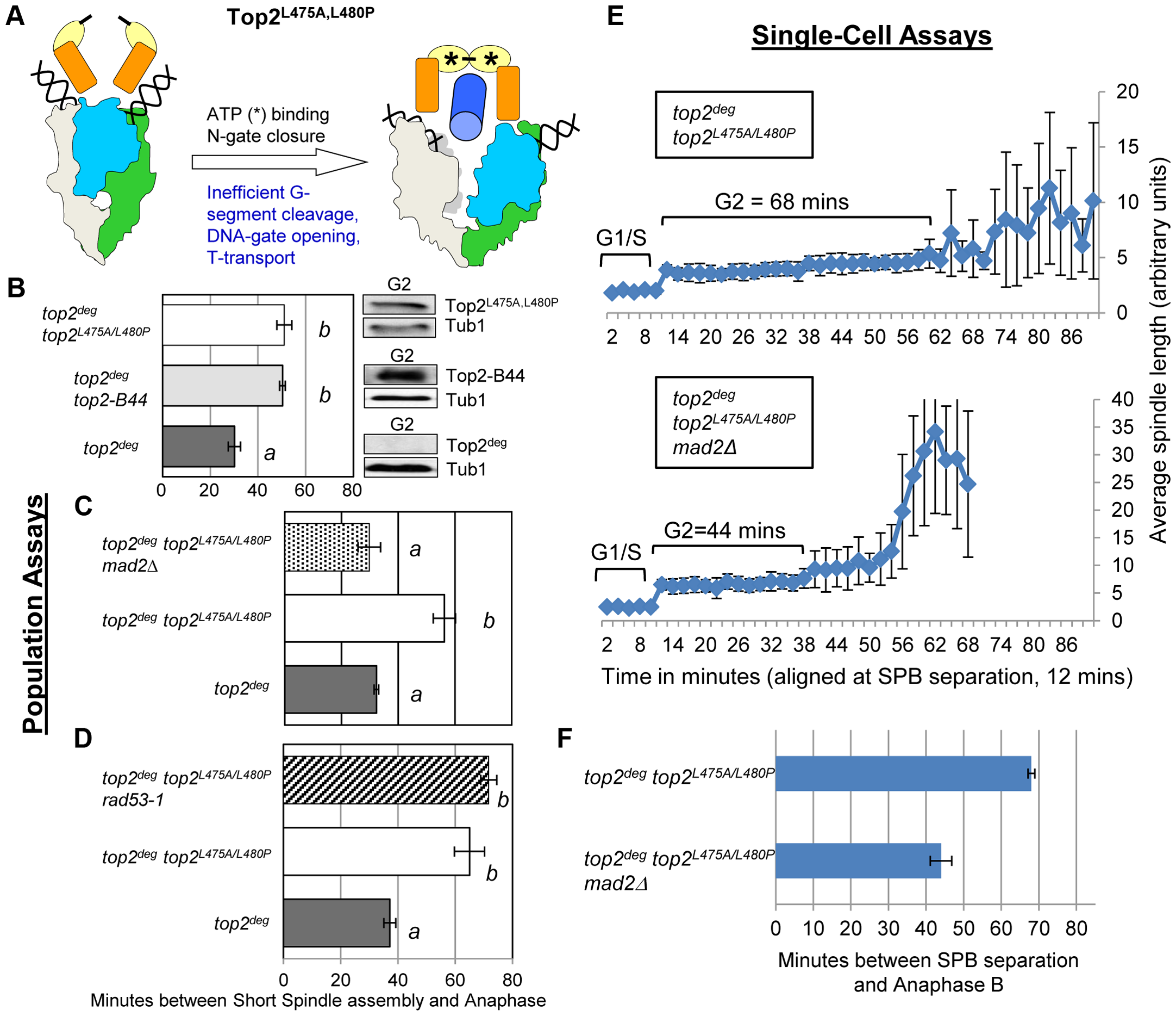 Defective T-Segment Transit may Activate the Mad2-Dependent Checkpoint.